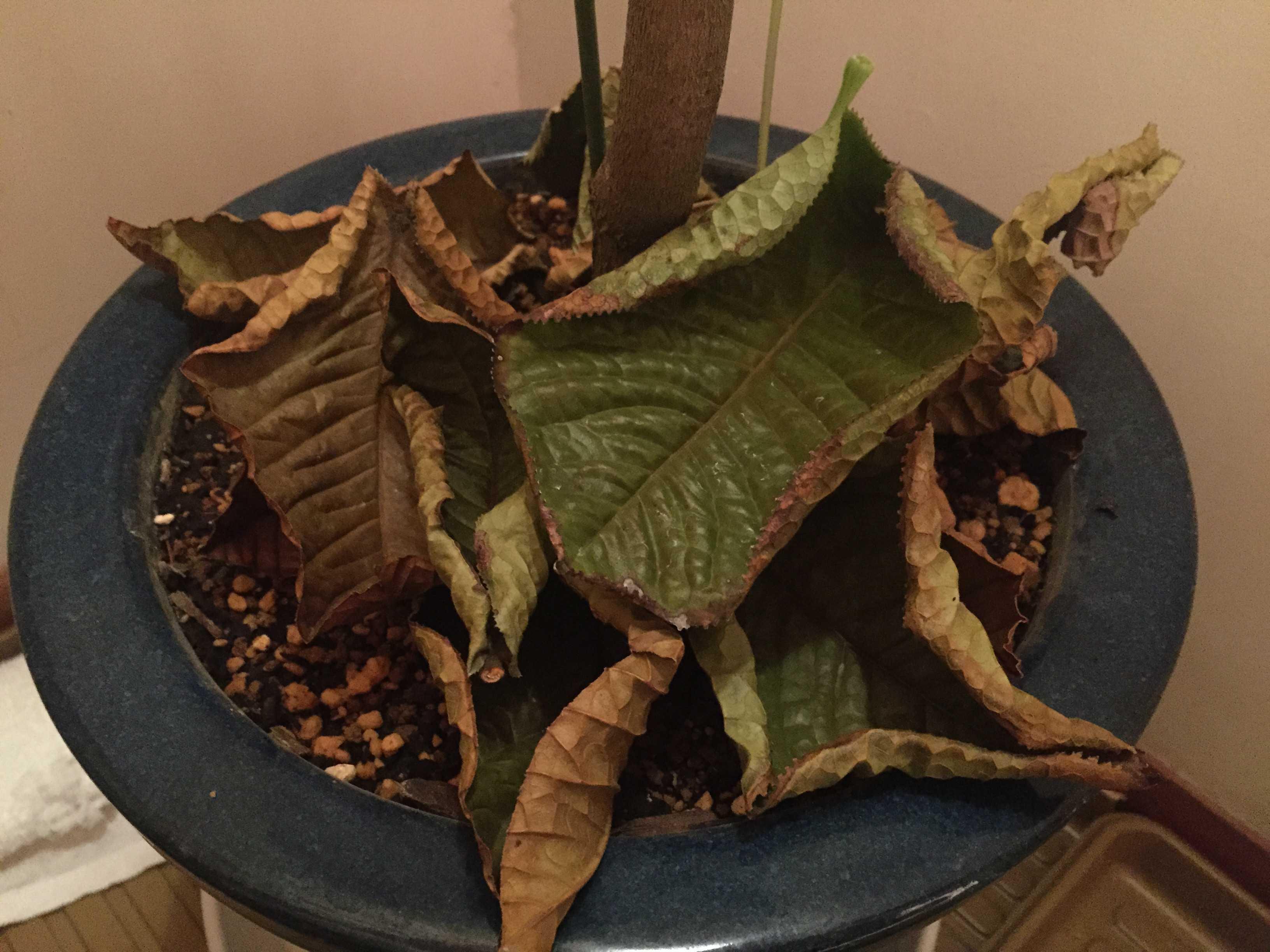 原種椿「ムラウチイ」の落ちた葉っぱ