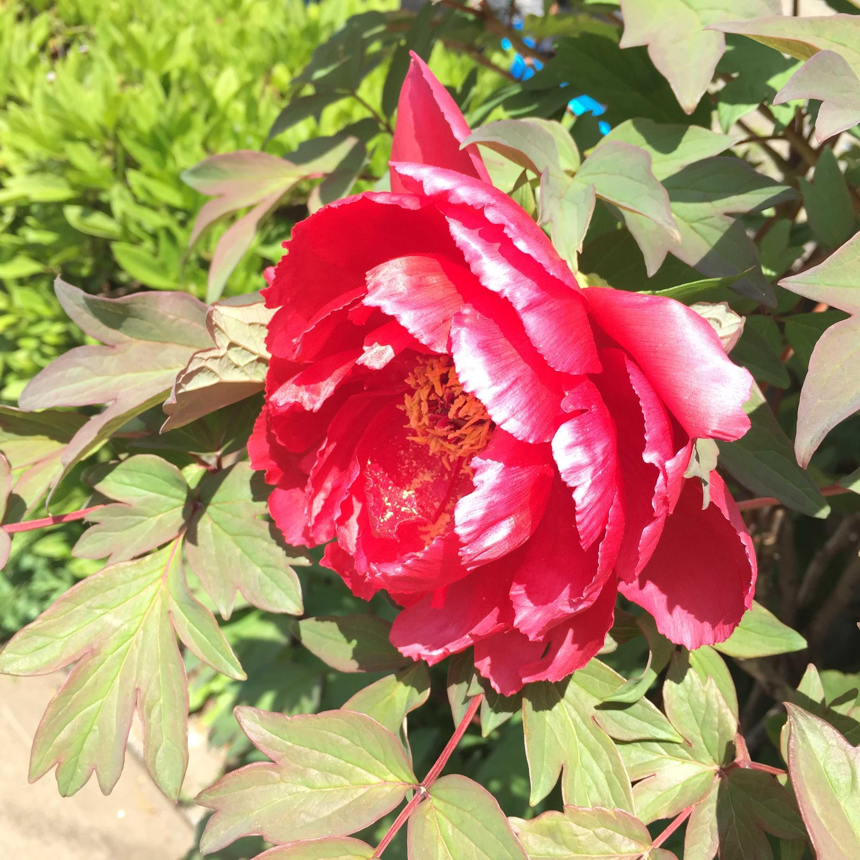赤い牡丹(ボタン)の花