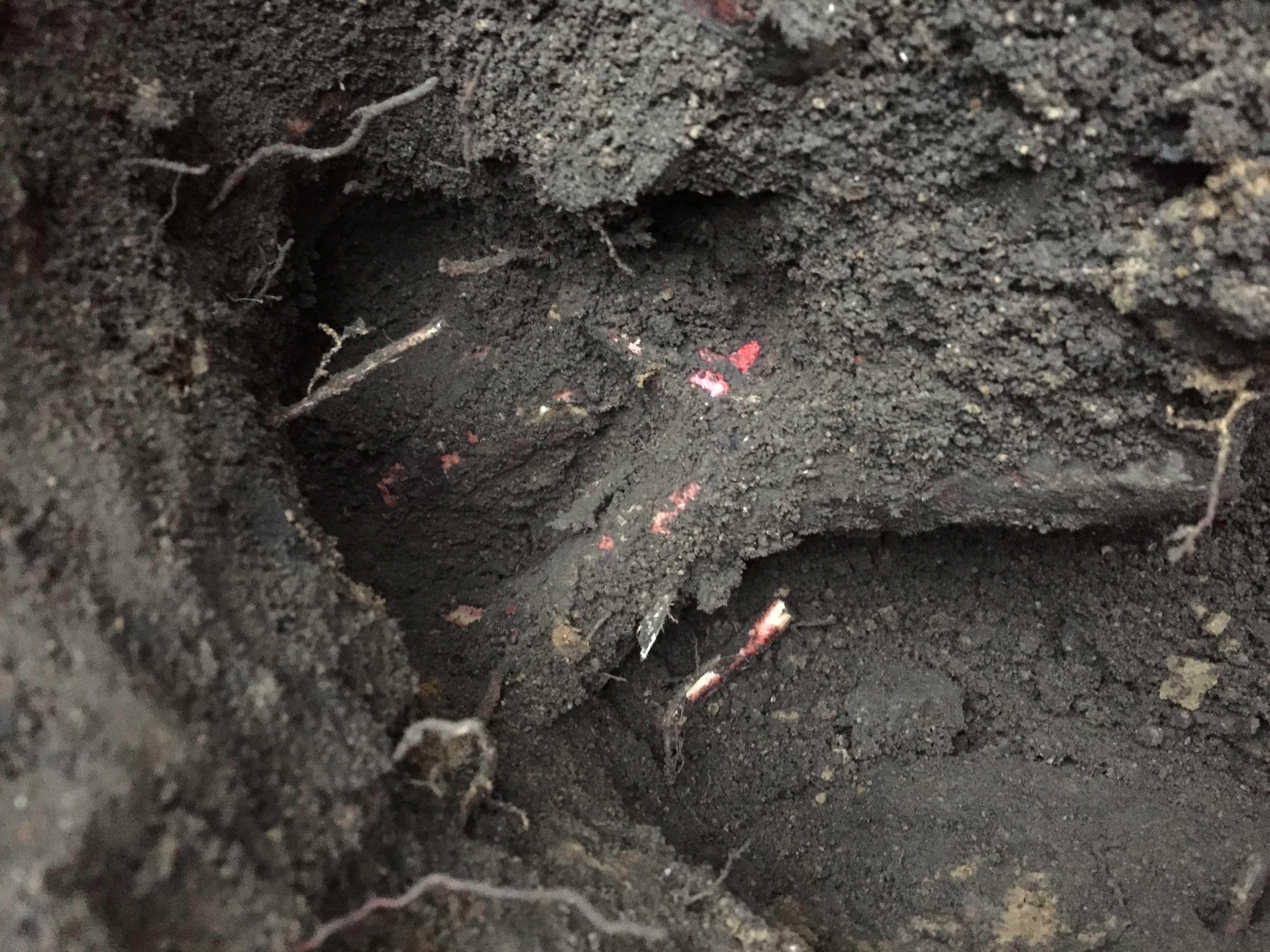 椿(ツバキ)の根っこ