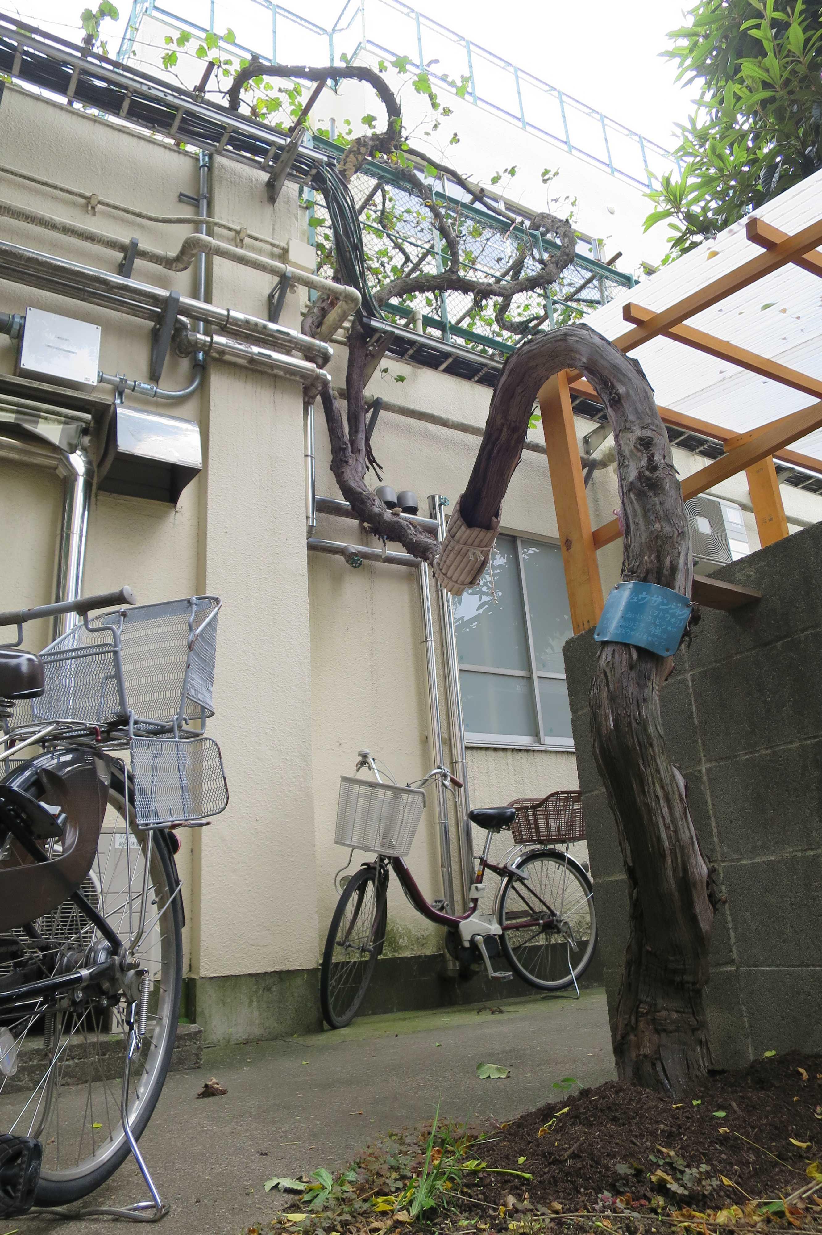 上神明小学校のぶどうの木「甲州三尺」