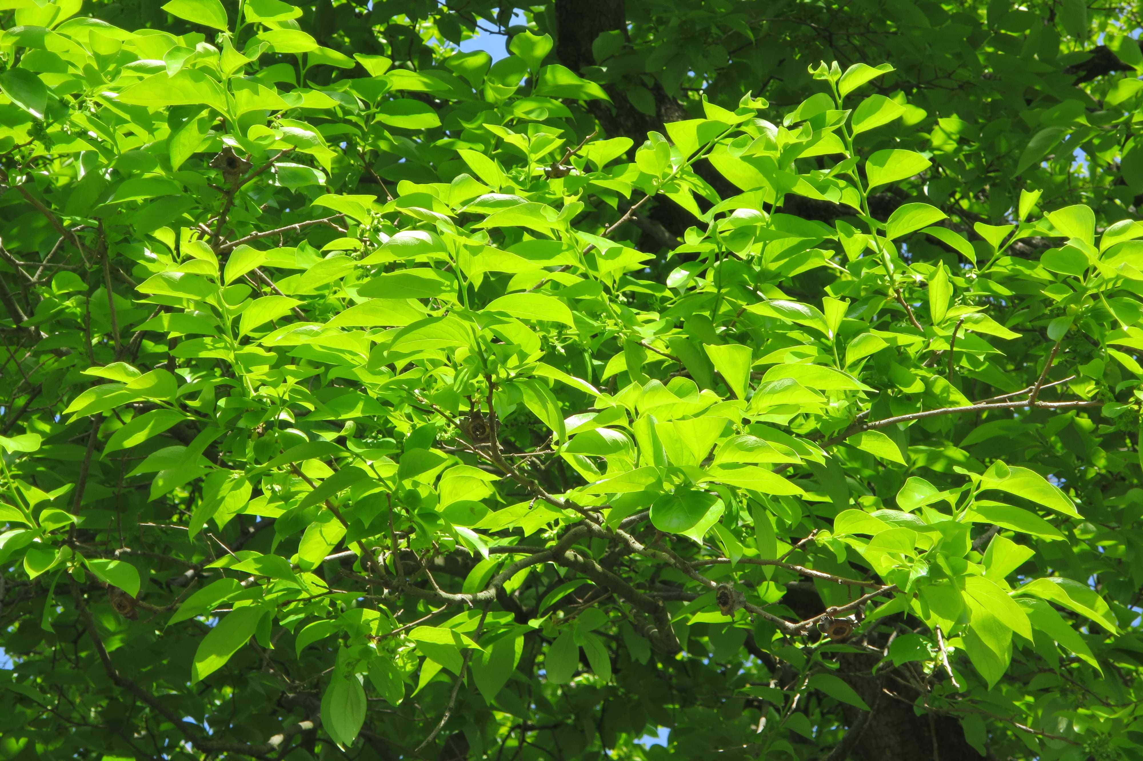 岡上の禅寺丸柿の木(カキノキ)の若葉