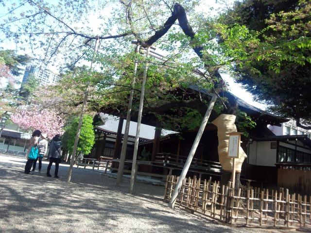 東京の桜の標本木
