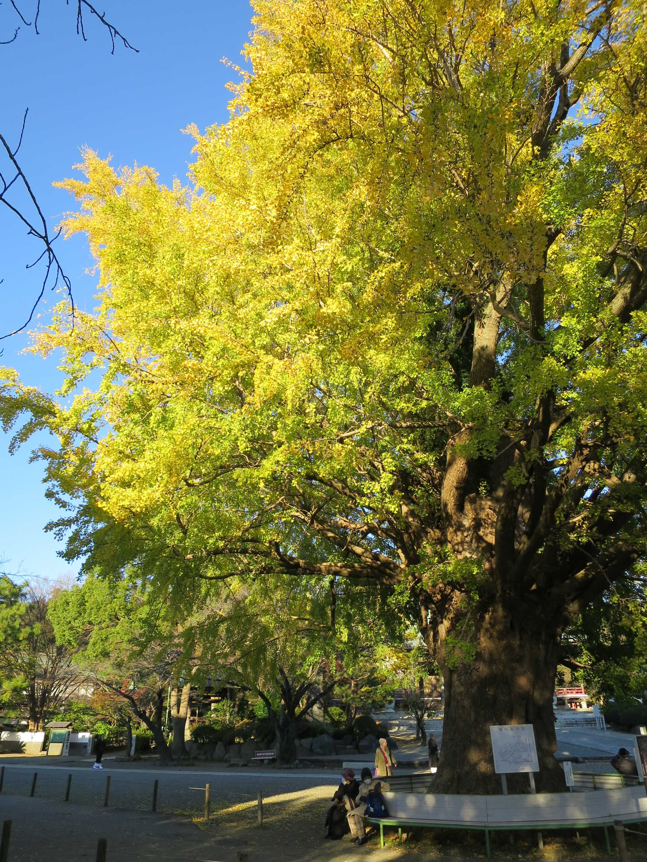 黄色くそびえる大銀杏