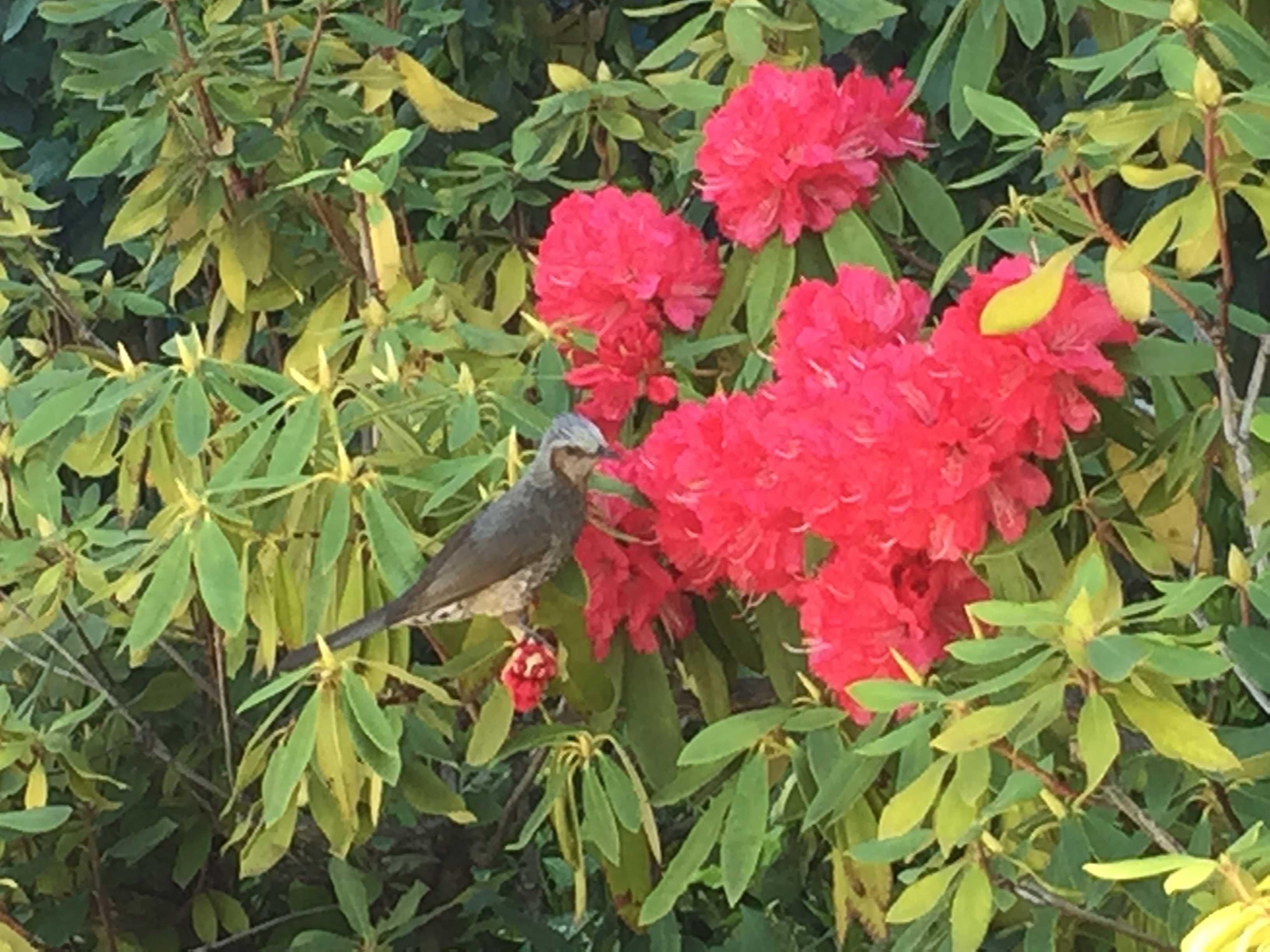 しゃくなげの蜜を吸う鳥