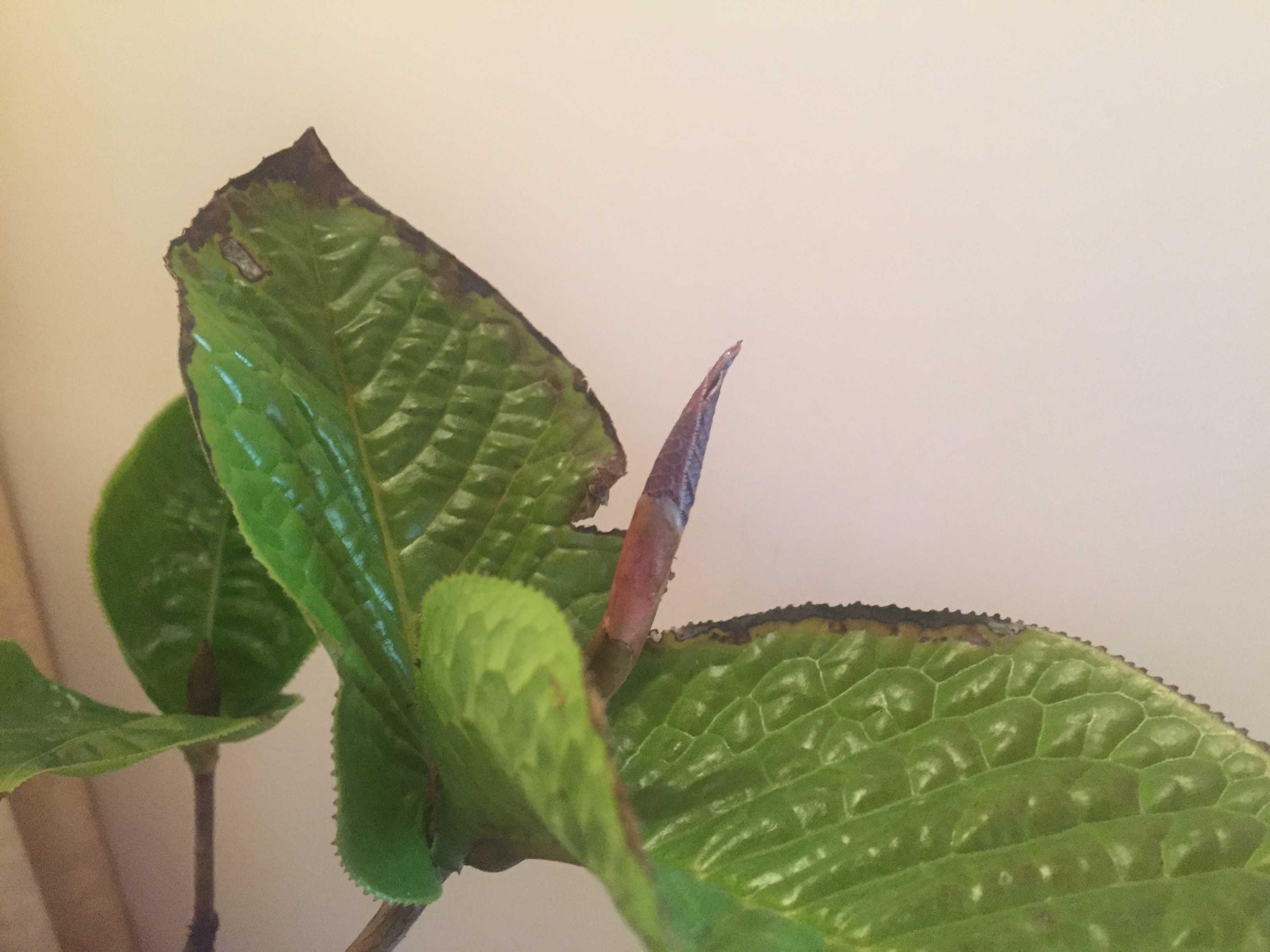 椿「ムラウチイ」の葉芽