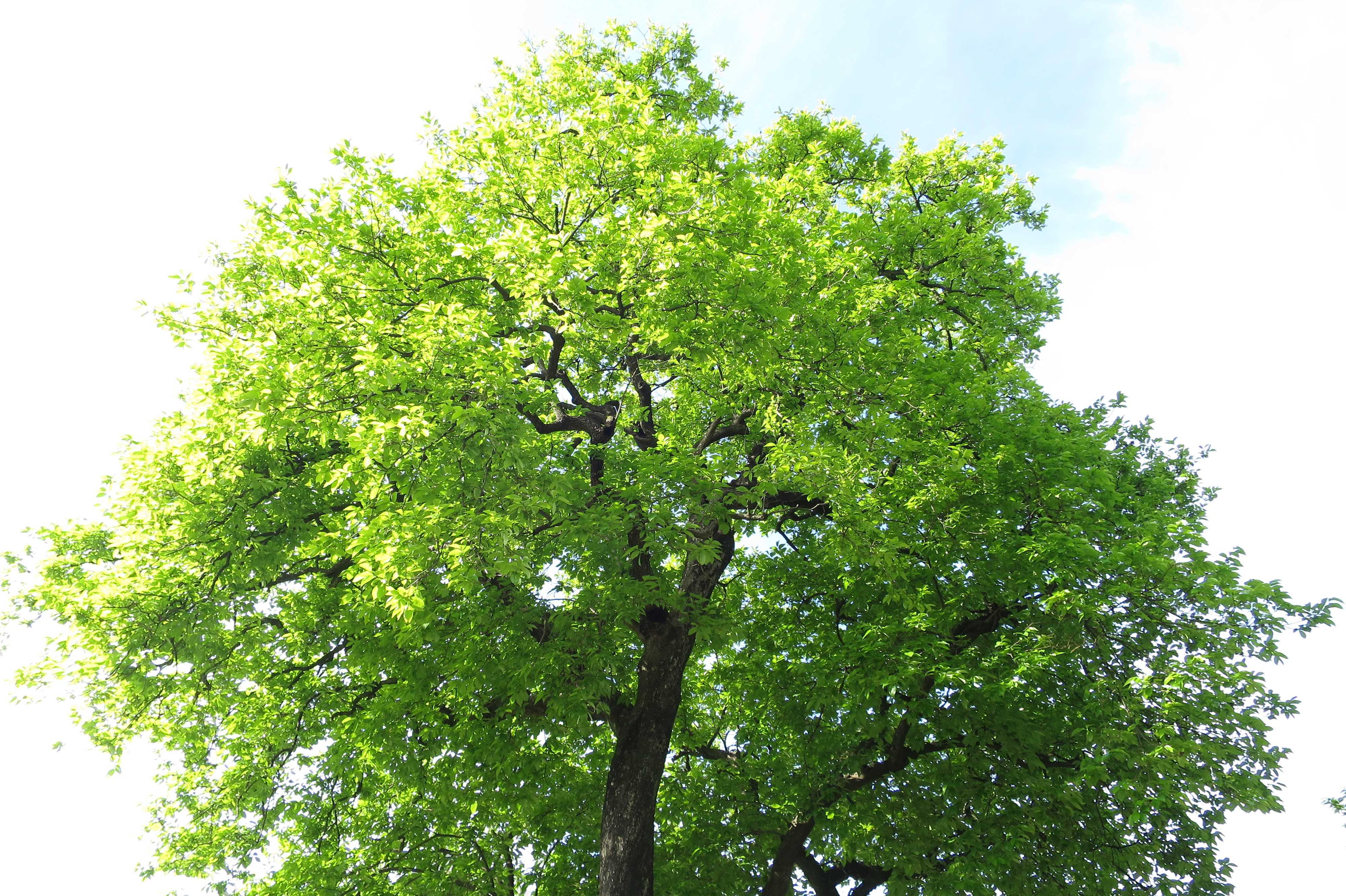 岡上の禅寺丸の樹冠