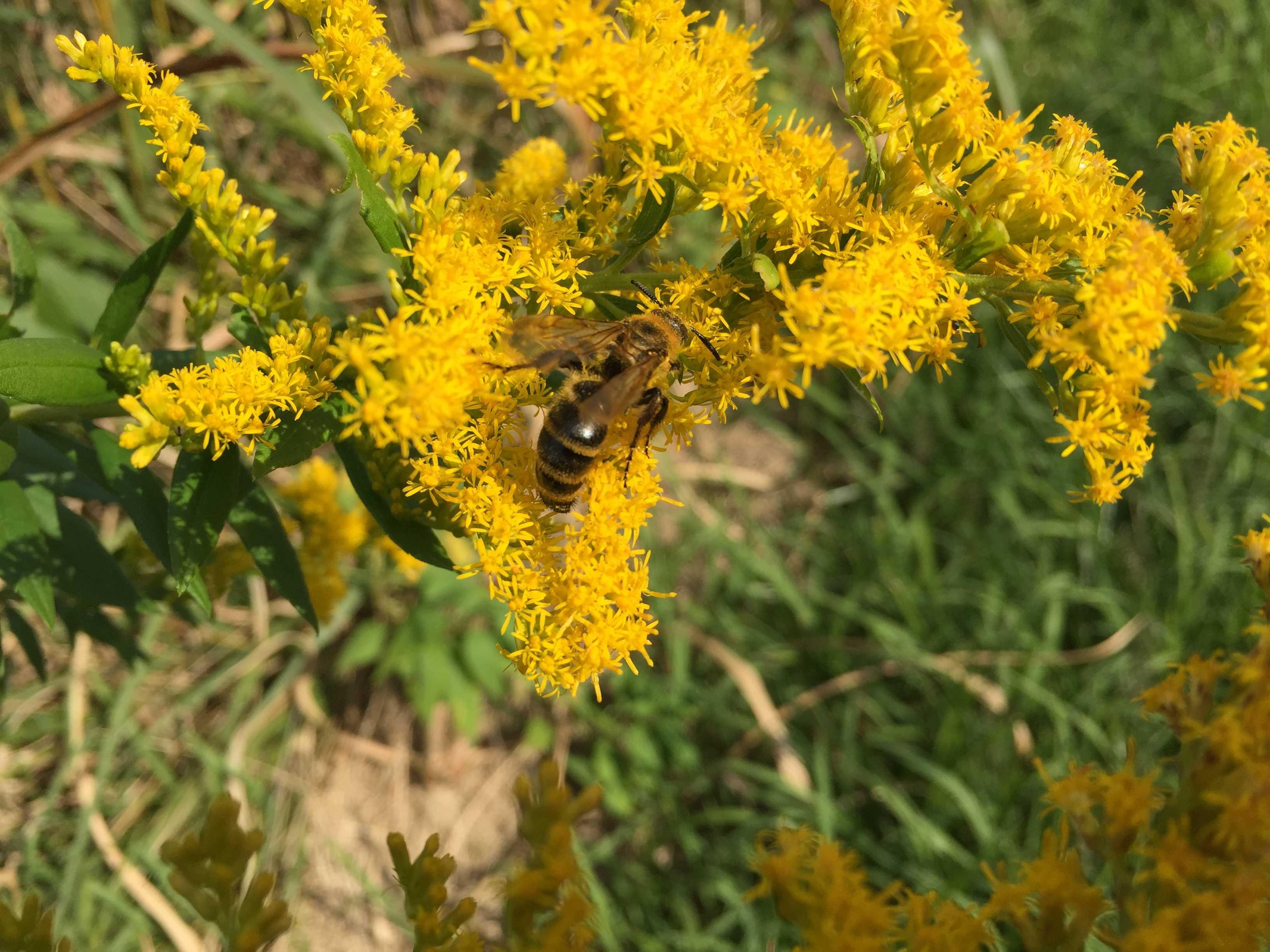 セイタカアワダチソウ(背嵩泡立草 / 代萩 / セイタカアキノキリンソウ )とミツバチ(蜜蜂)