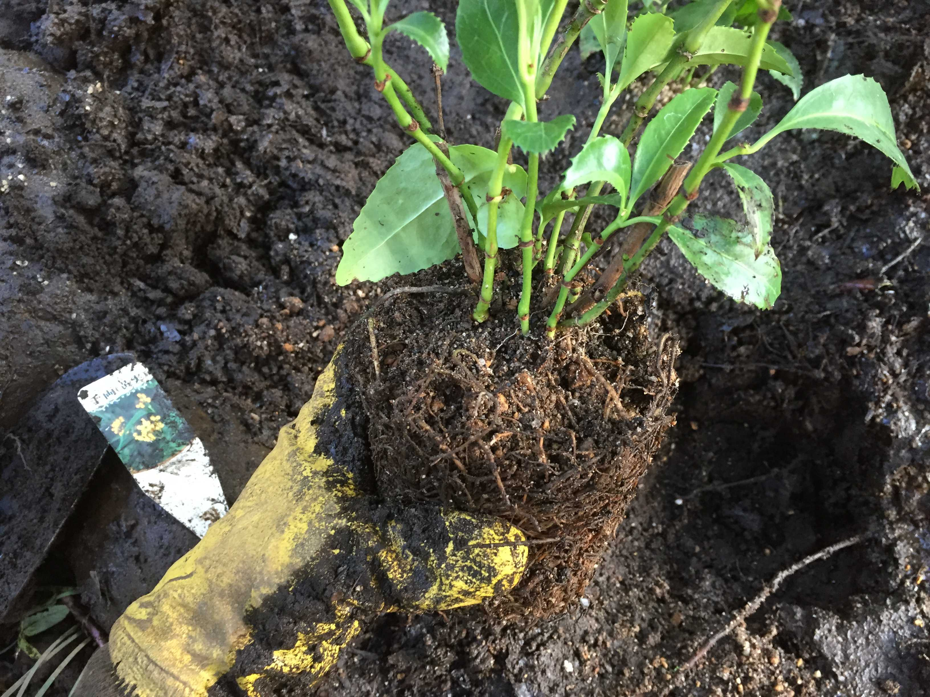 黄実の千両(キミノセンリョウ) の植え付け - 根鉢を崩さない