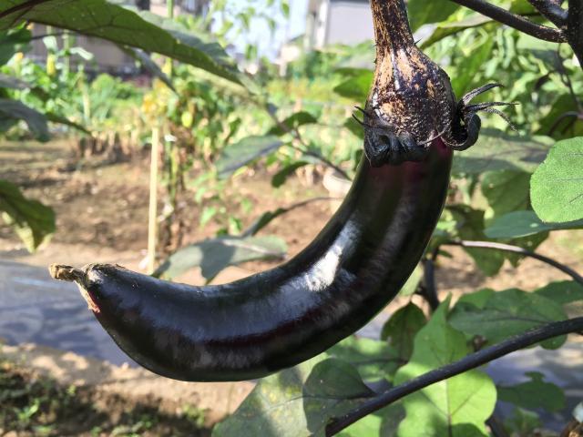 紫の茄子(なす)