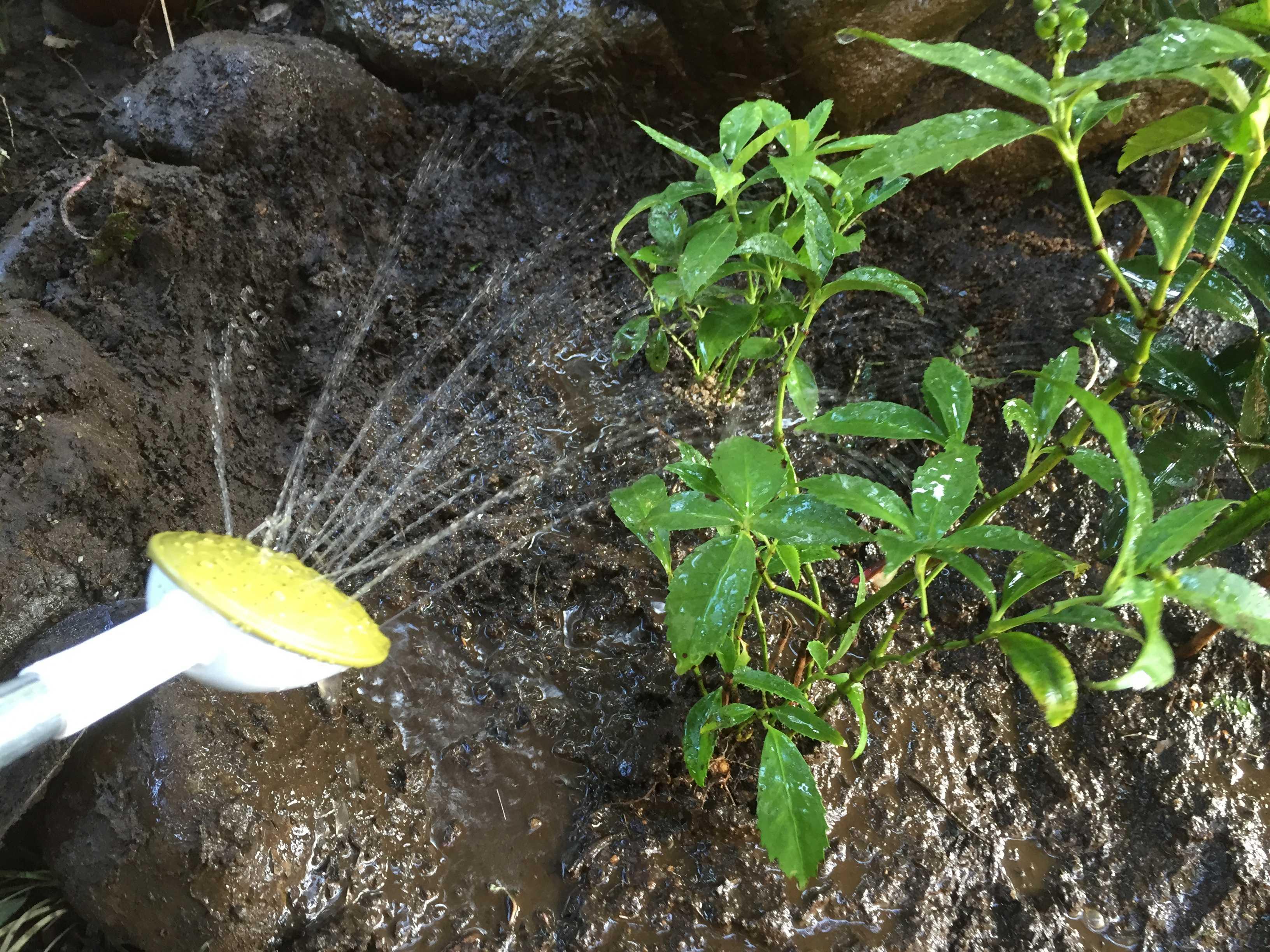 キミノセンリョウの葉っぱのみずみずしさ
