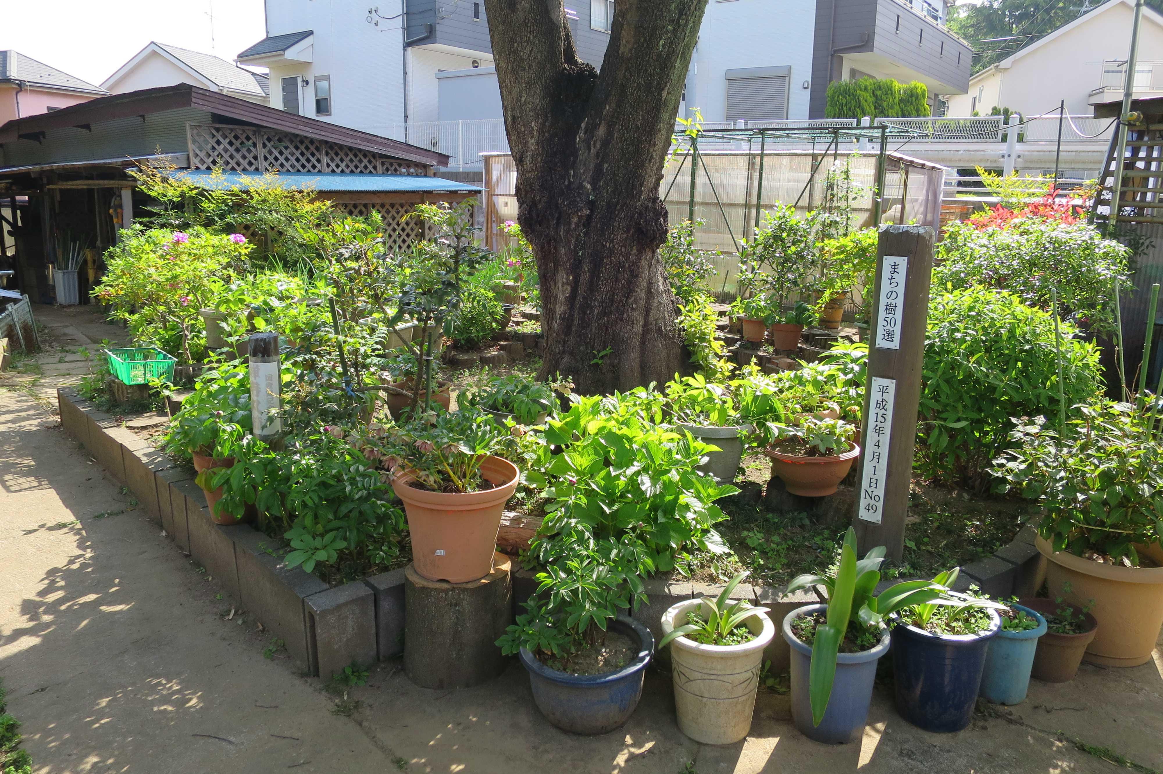 岡上の禅寺丸柿の木の根元