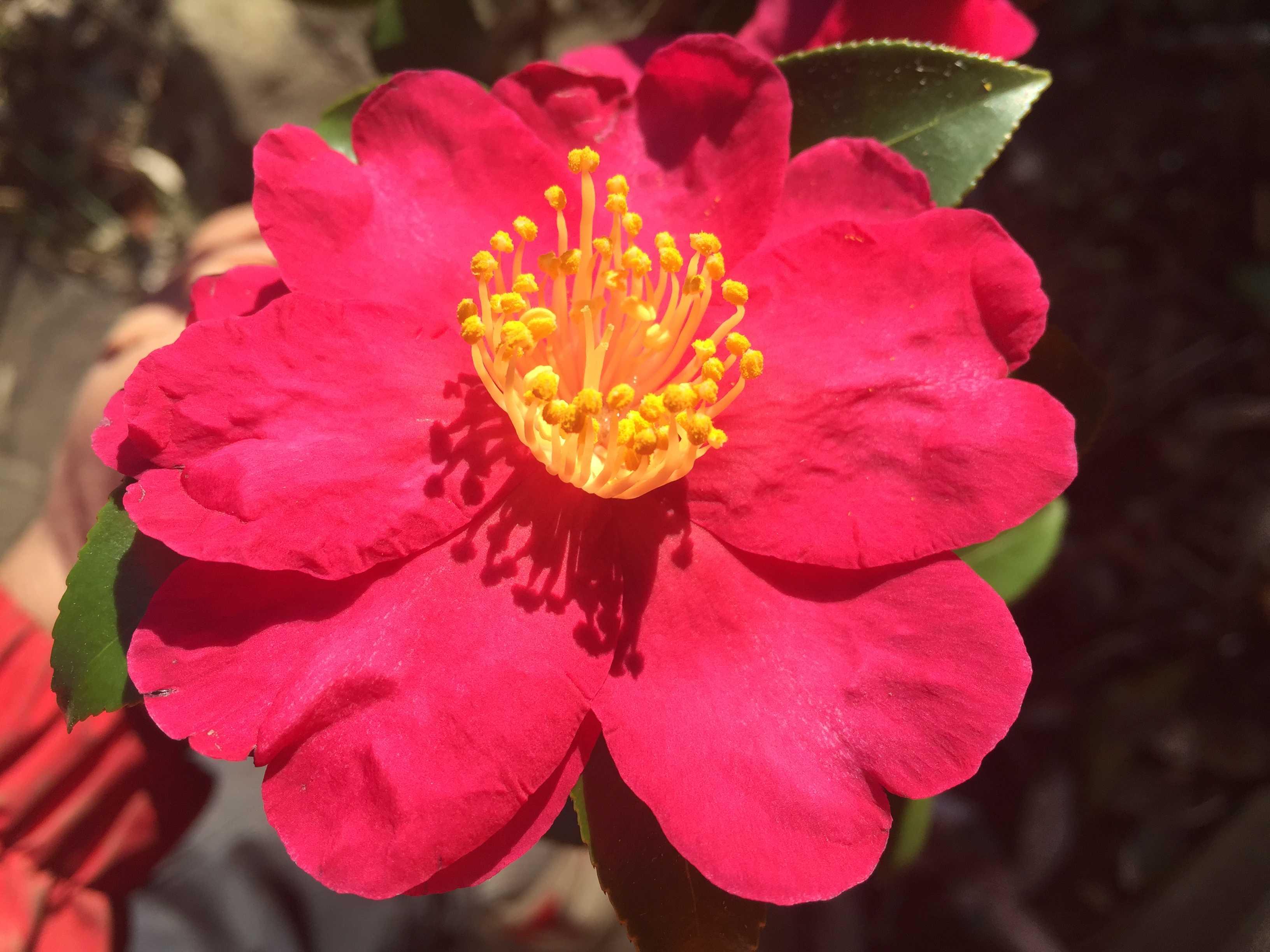 紅色八重咲きの山茶花 - カンツバキ群