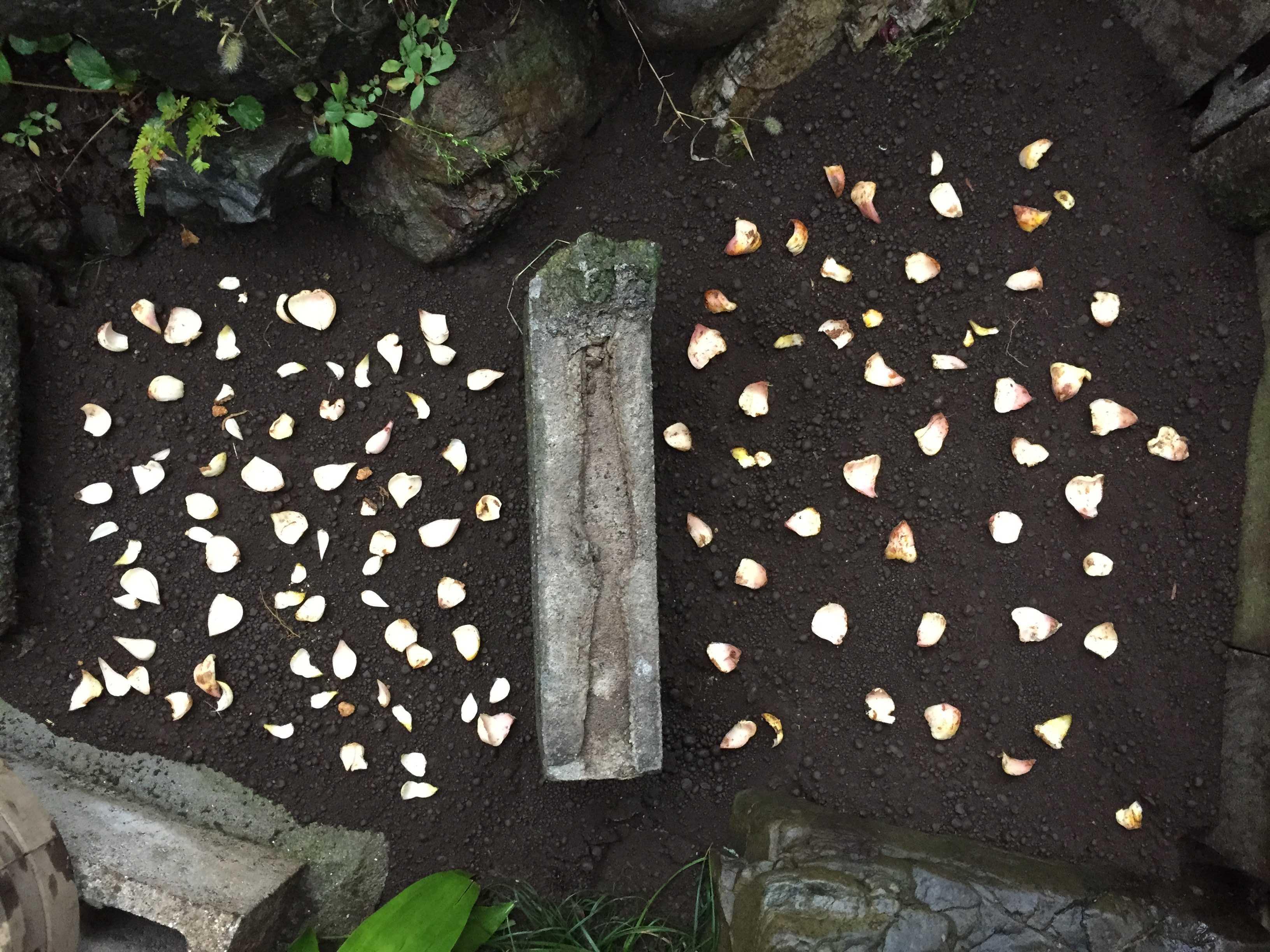 ヤマユリの鱗片定植/植え付け(鱗片バラマキ繁殖)