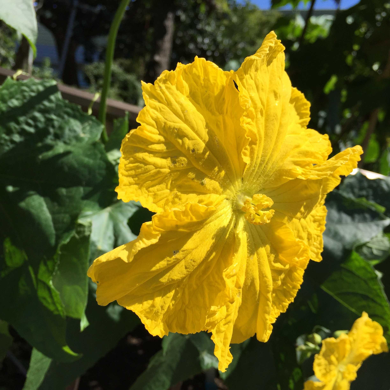 真っ黄色 - ヘチマの花