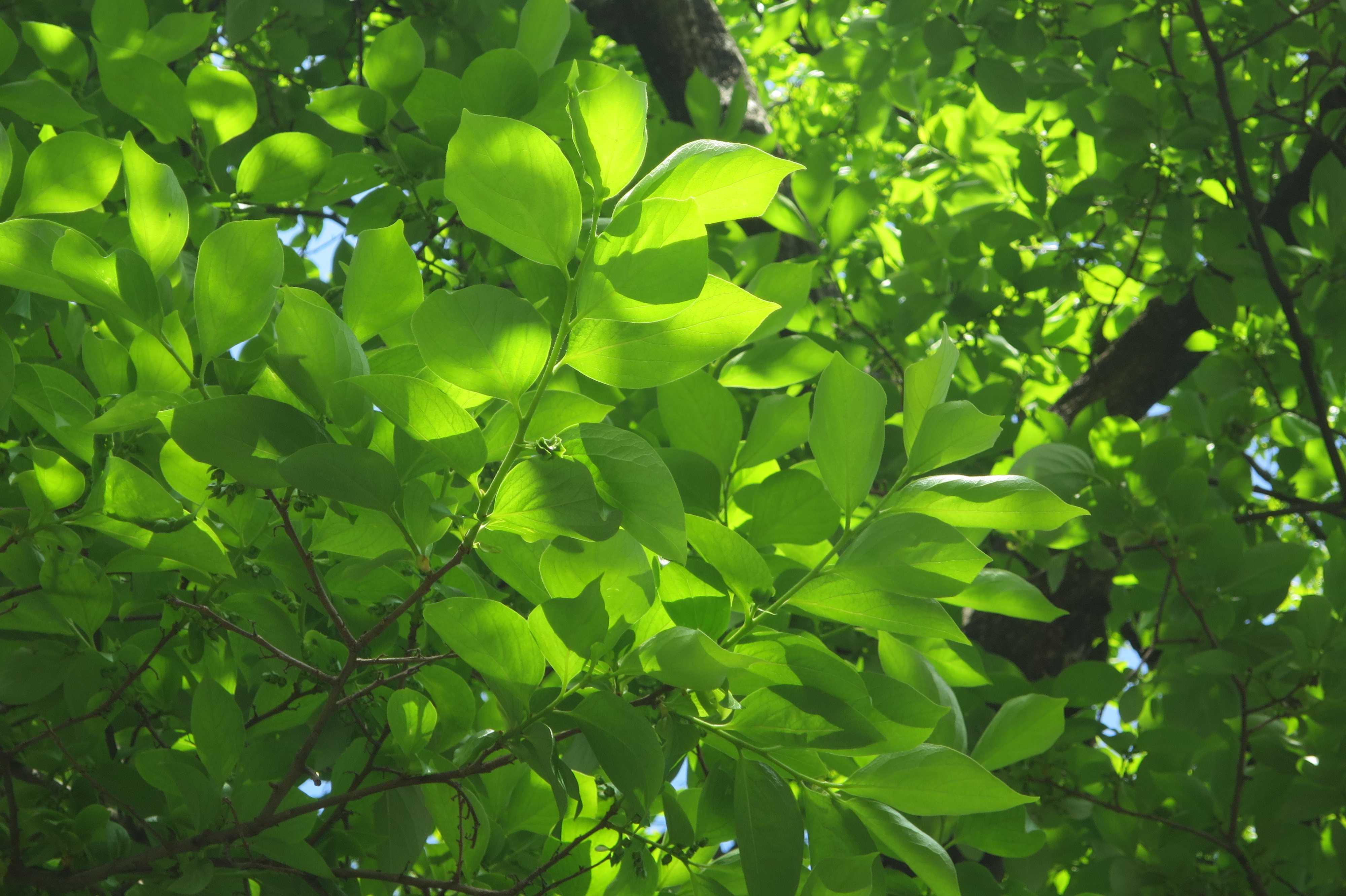 禅寺丸柿の新葉