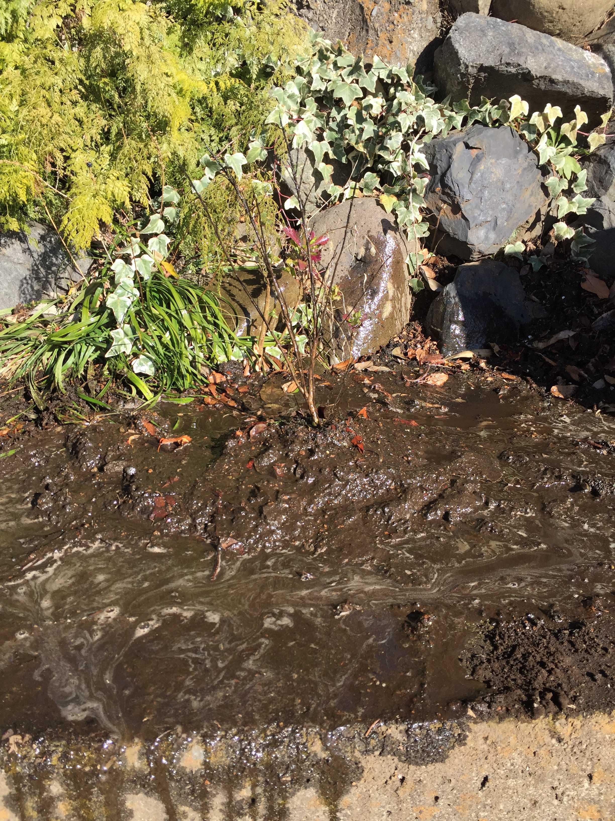 矮性サルスベリ「ポコモック」の植え付け直後の写真画像