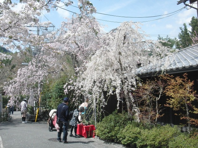嵐山の路地に咲くサクラ