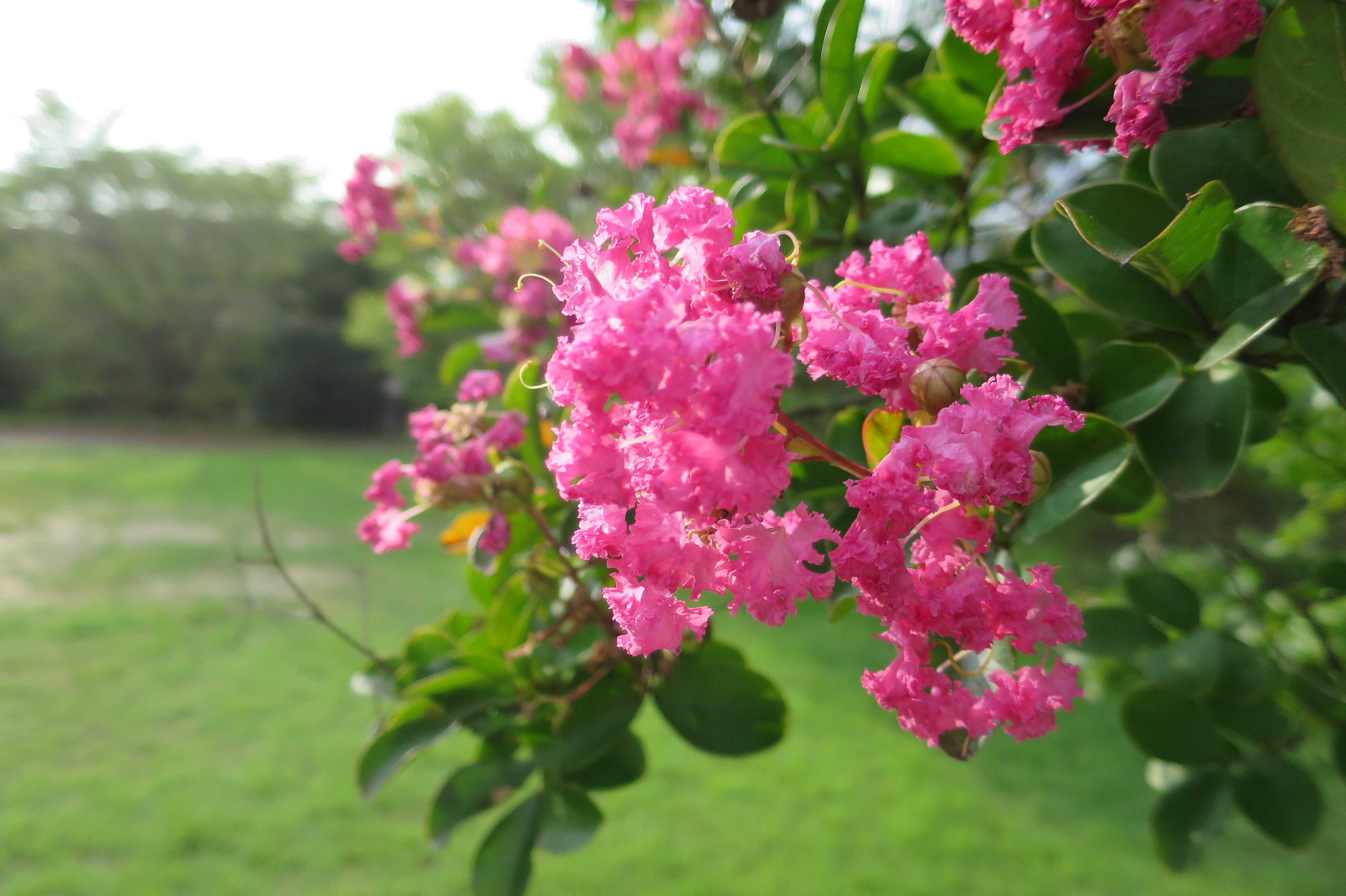 京都・崇仁地区 - さるすべりが美しく咲く鴨川沿いの広場(屋形町公園)