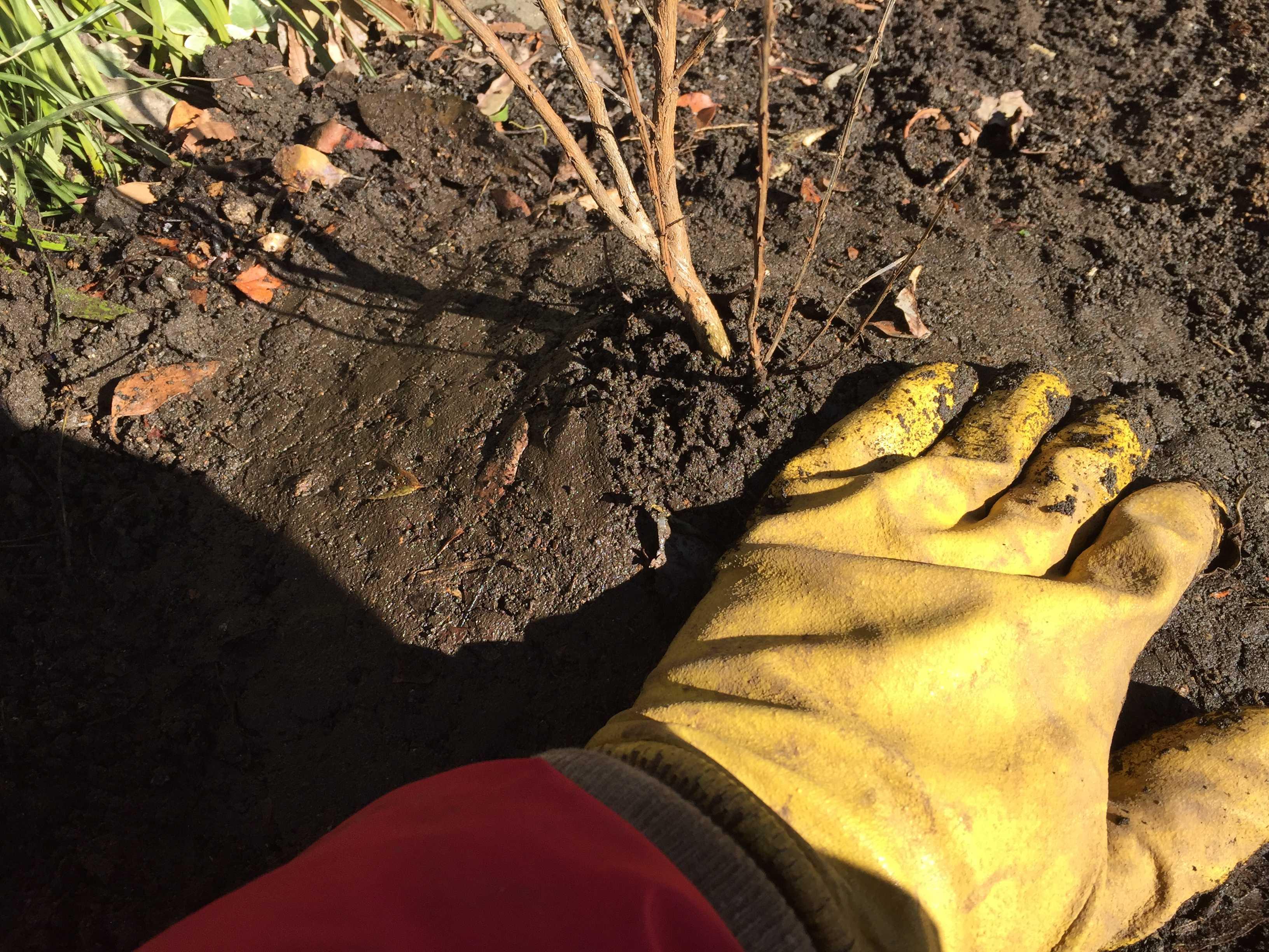 矮性品種のサルスベリ「ポコモック」の植え付け