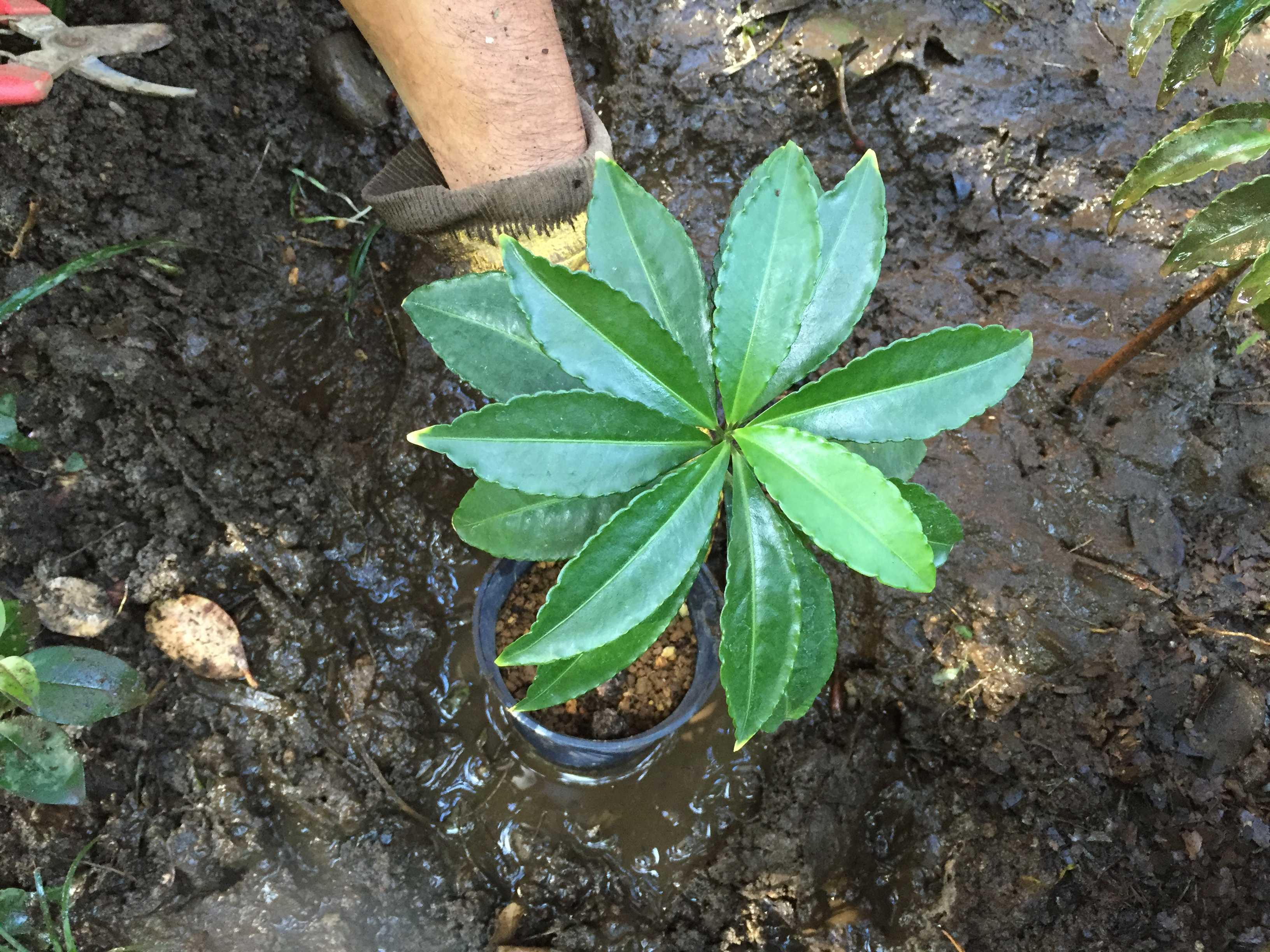 爪斑万両(マンリョウ)の植え付け - 半日陰の植え穴