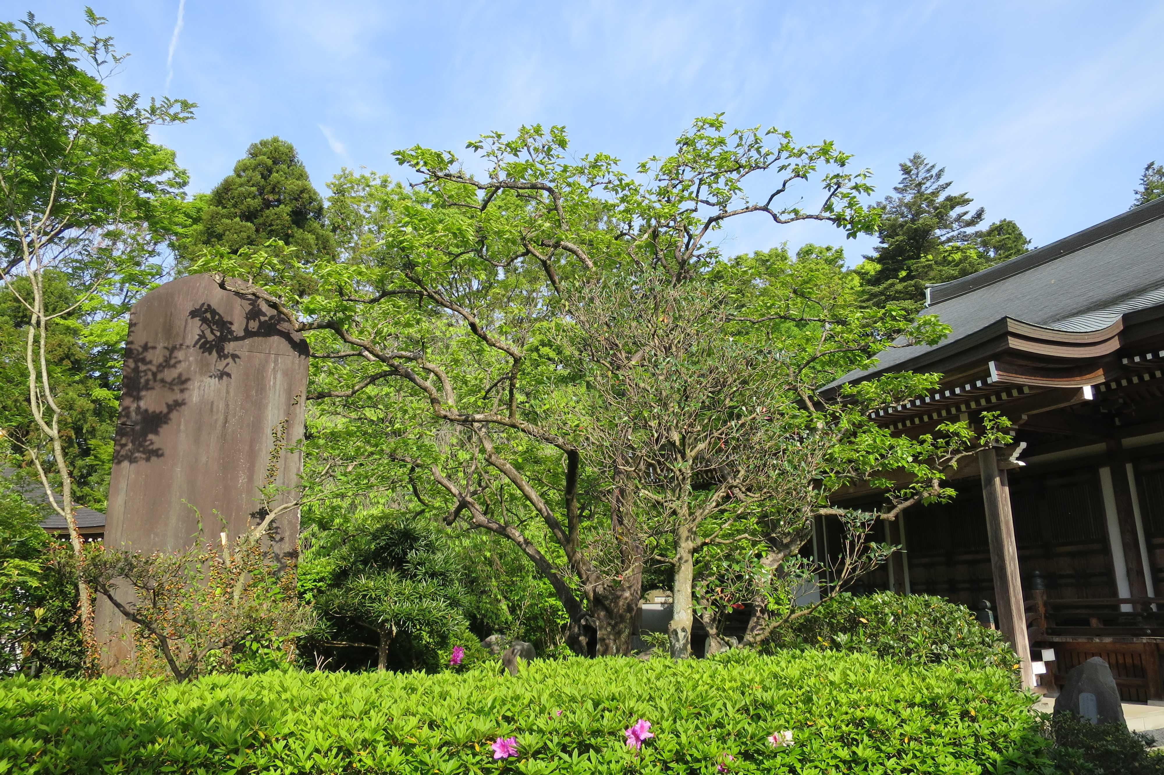 裏側から見た禅寺丸柿の原木