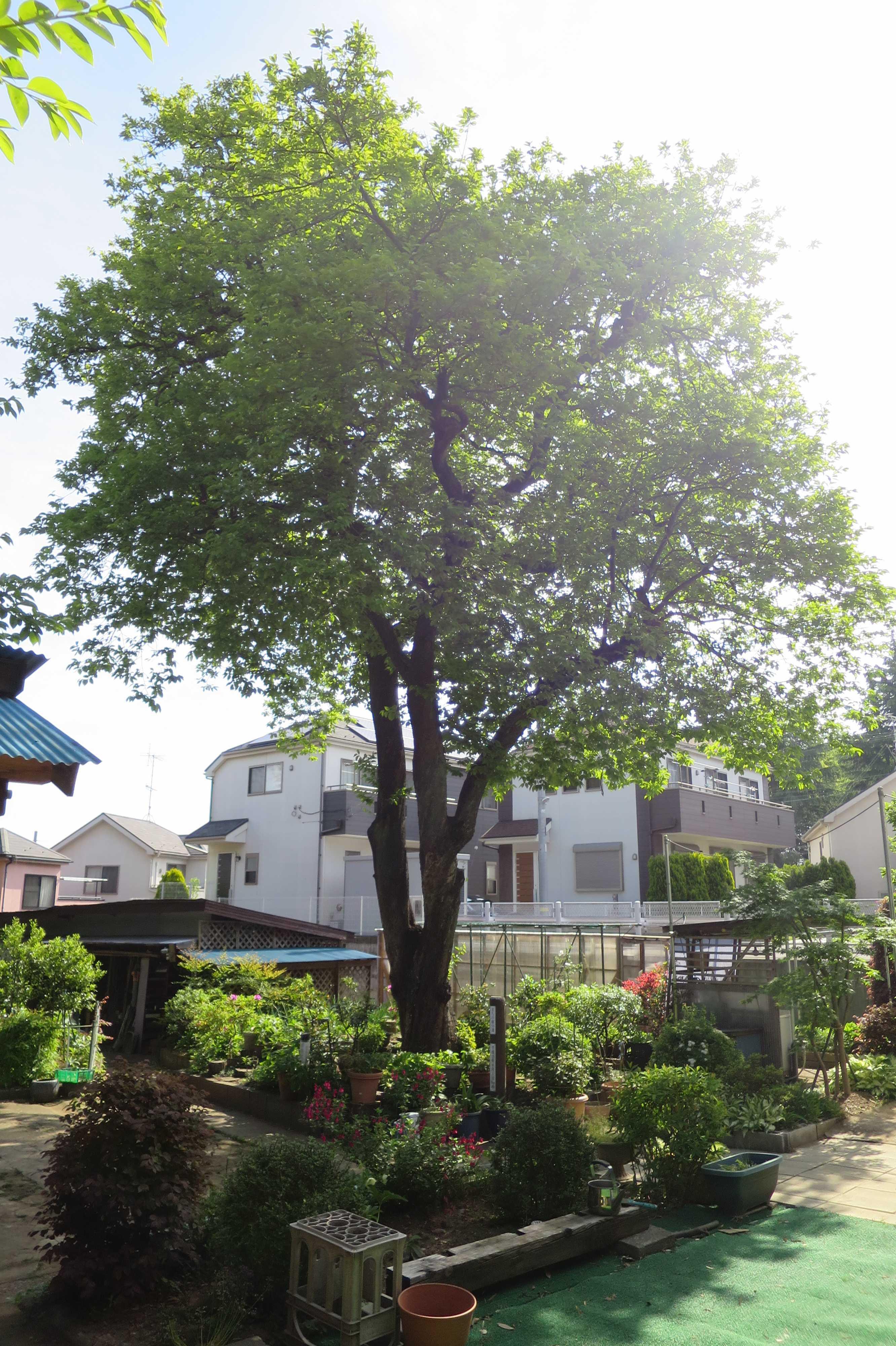 樹齢400年の柿巨木 - 麻生区岡上