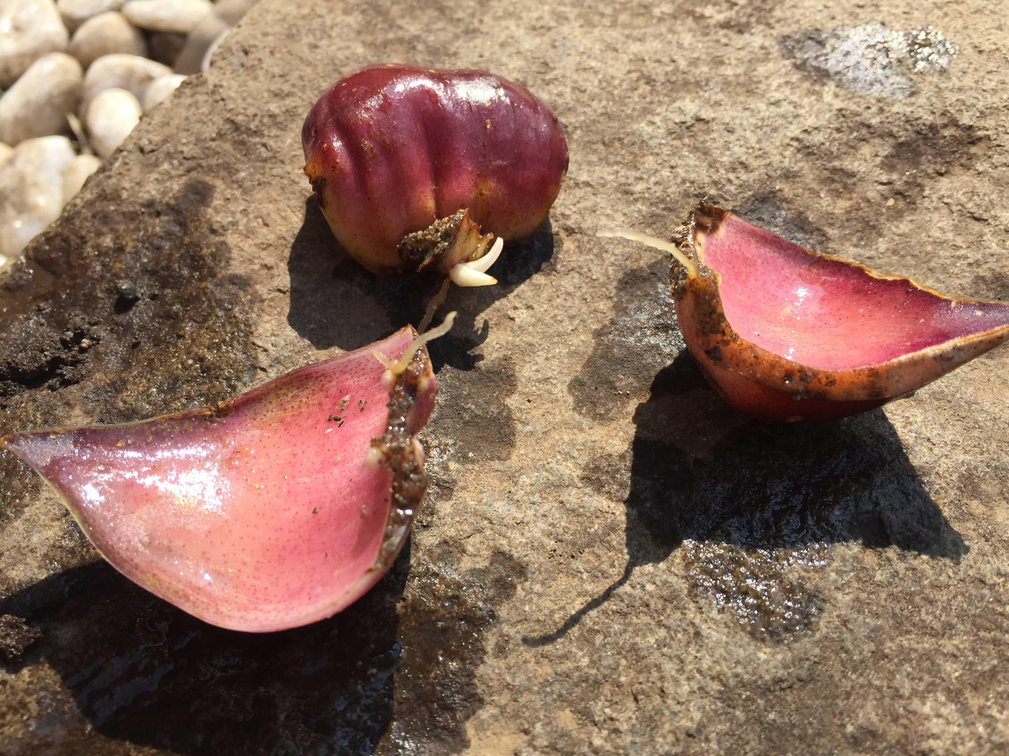 鱗片から出たヤマユリの子球(栄養繁殖/鱗片挿し/鱗片繁殖)