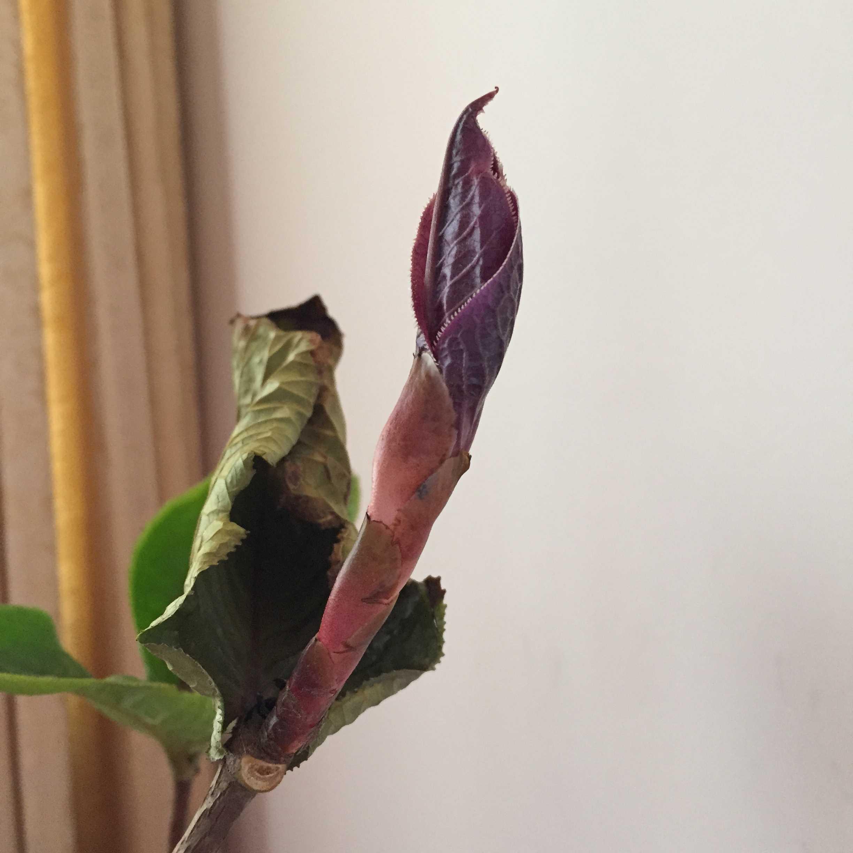 ツバキの原種「ムラウチイ」