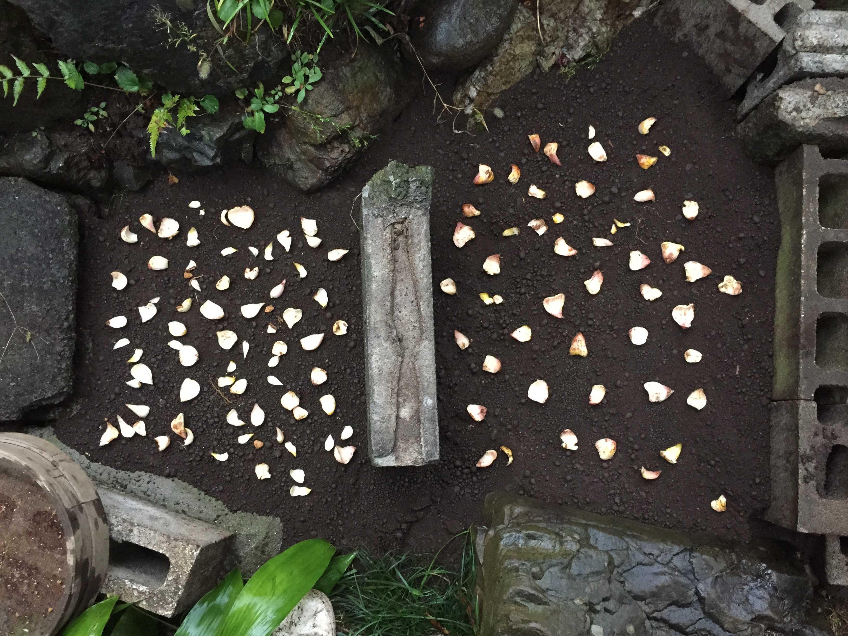 やまゆりの鱗片定植(鱗片繁殖)