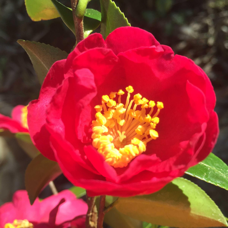 紅色八重咲きのさざんか: タチカンツバキ(立寒椿)の勘次郎