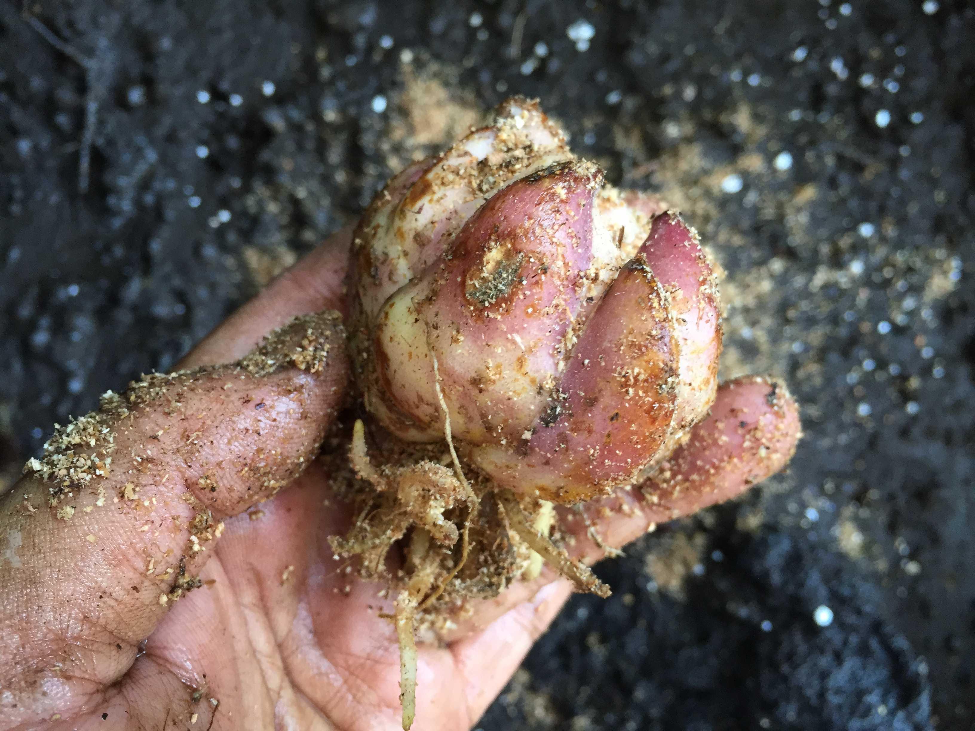 ヤマユリの球根植え付け - 格安の小ぶりな球根