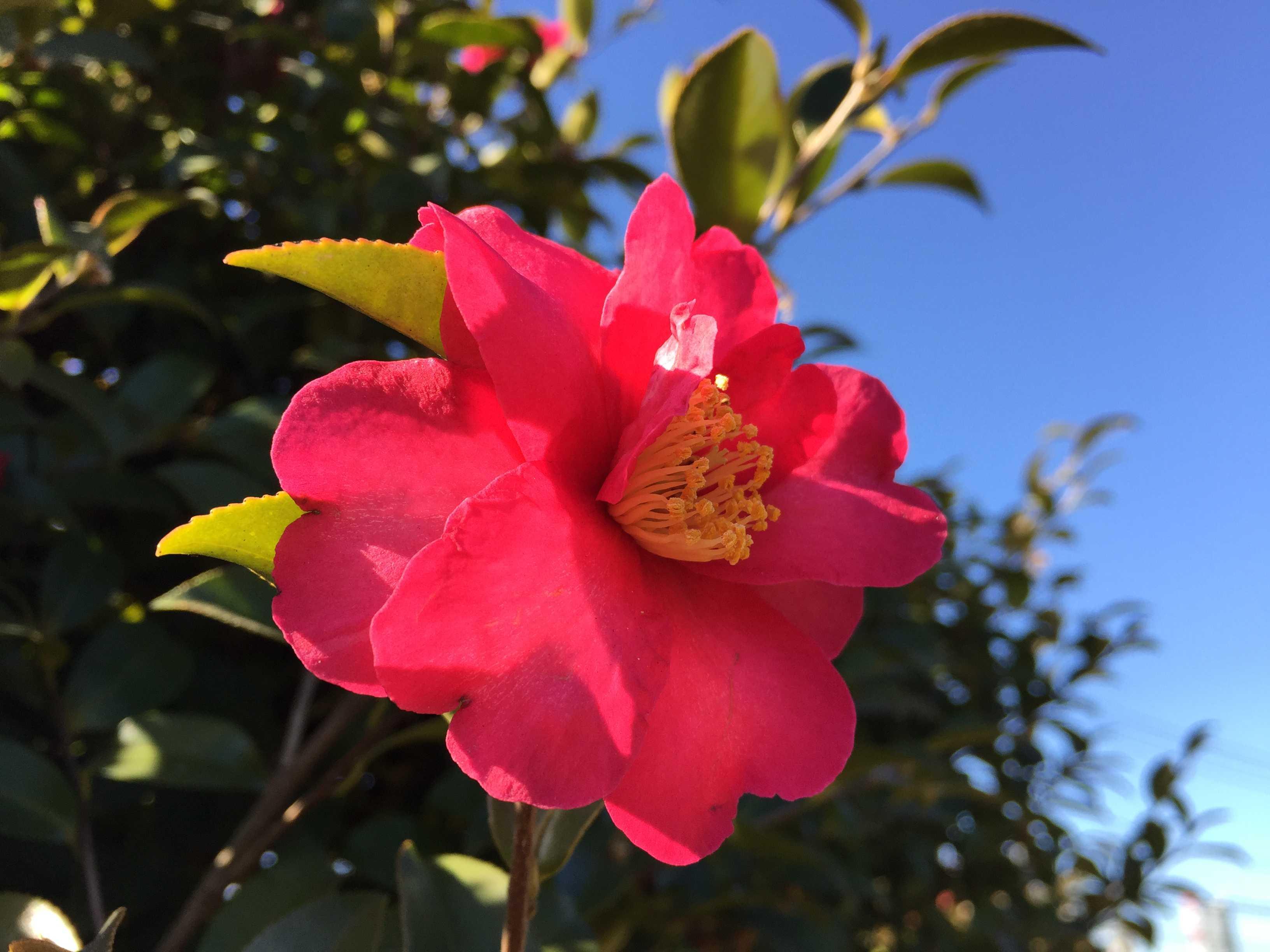 2月のサザンカ(山茶花)