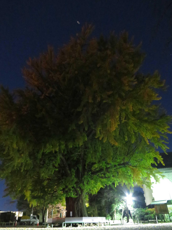 夜の遊行寺境内の大イチョウ