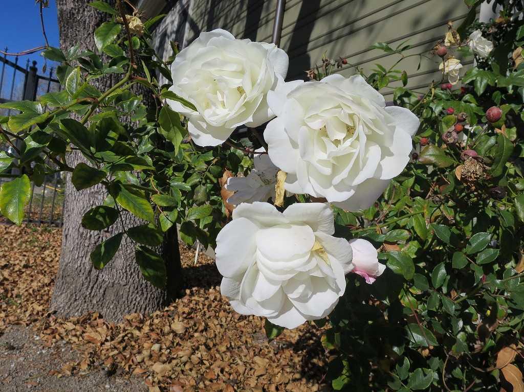 サンノゼ - 白い花