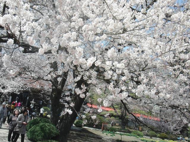 実相寺の満開の桜