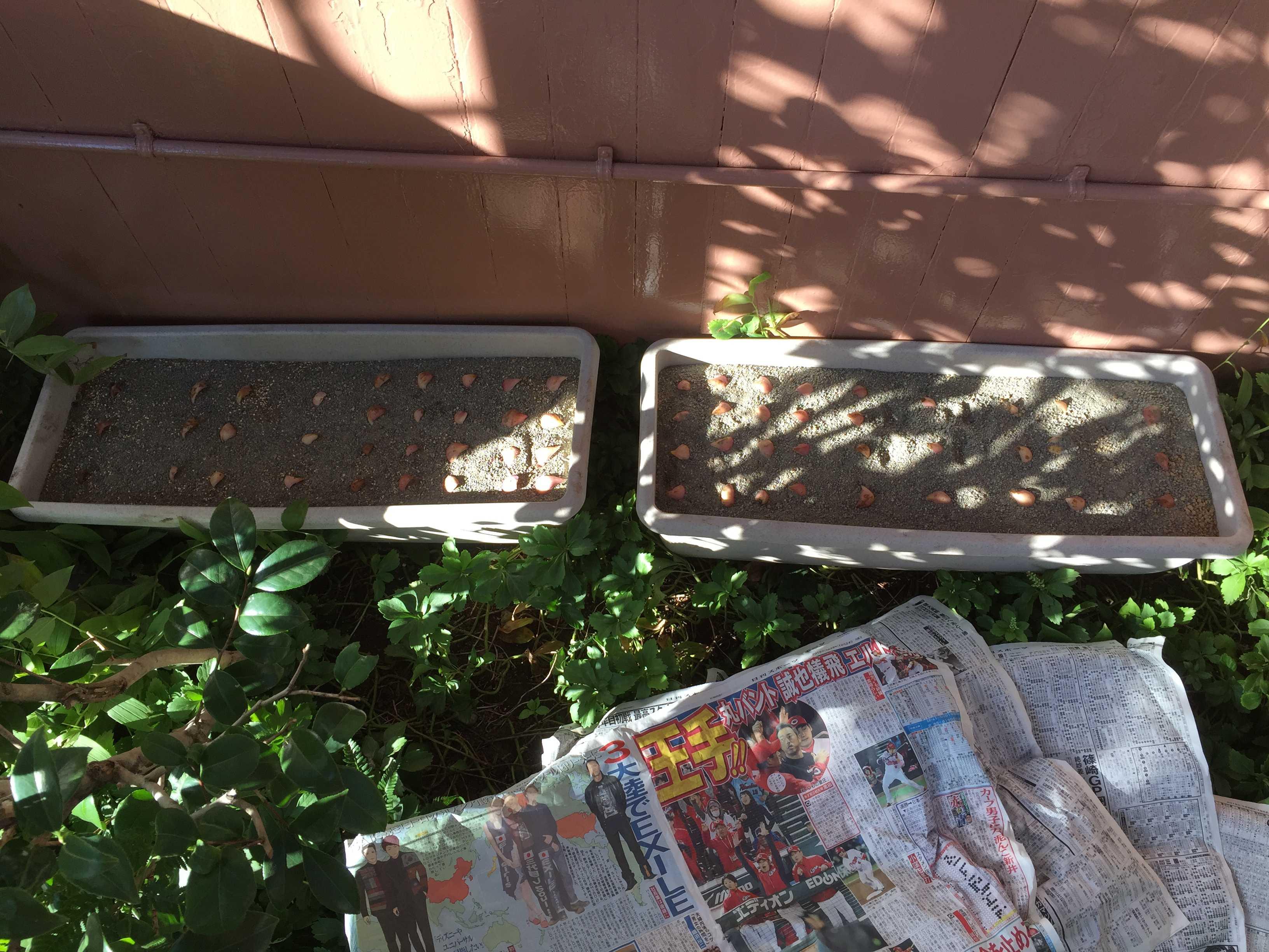 ヤマユリの鱗片挿し - 半日陰の軒下