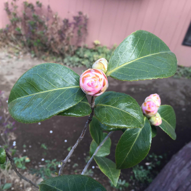3月中旬の乙女椿(オトメツバキ)の蕾