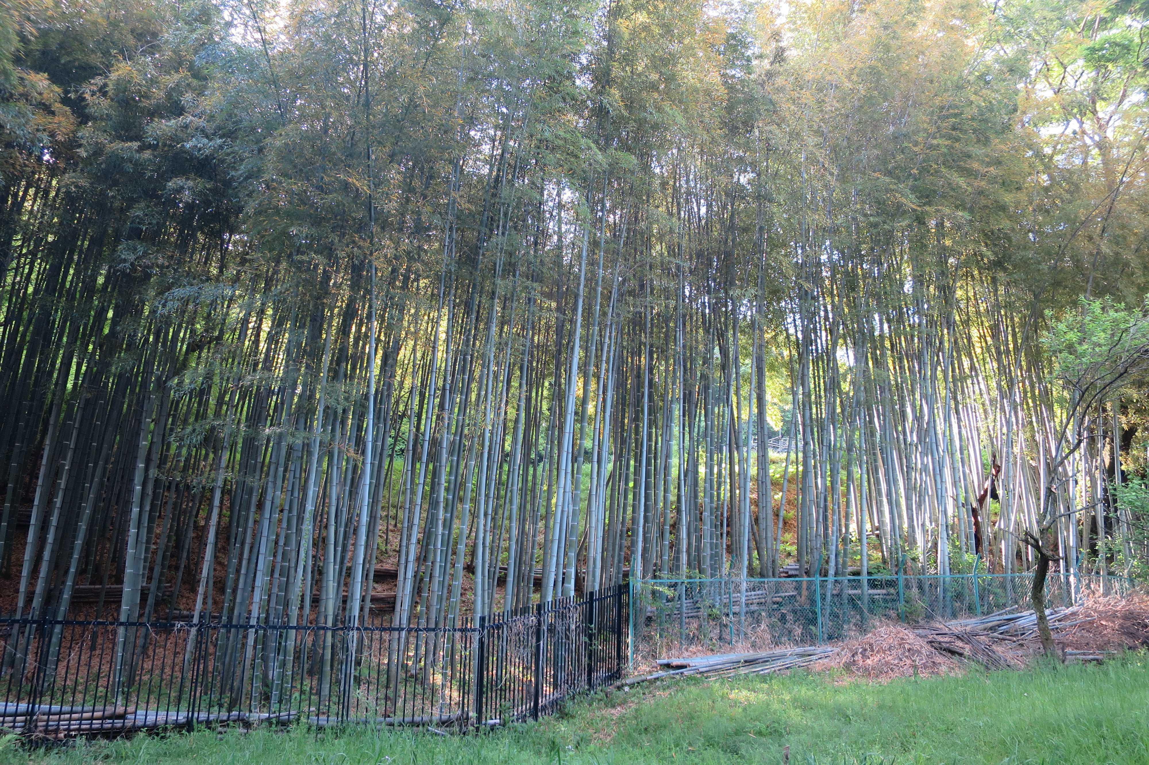 王禅寺境内の竹林