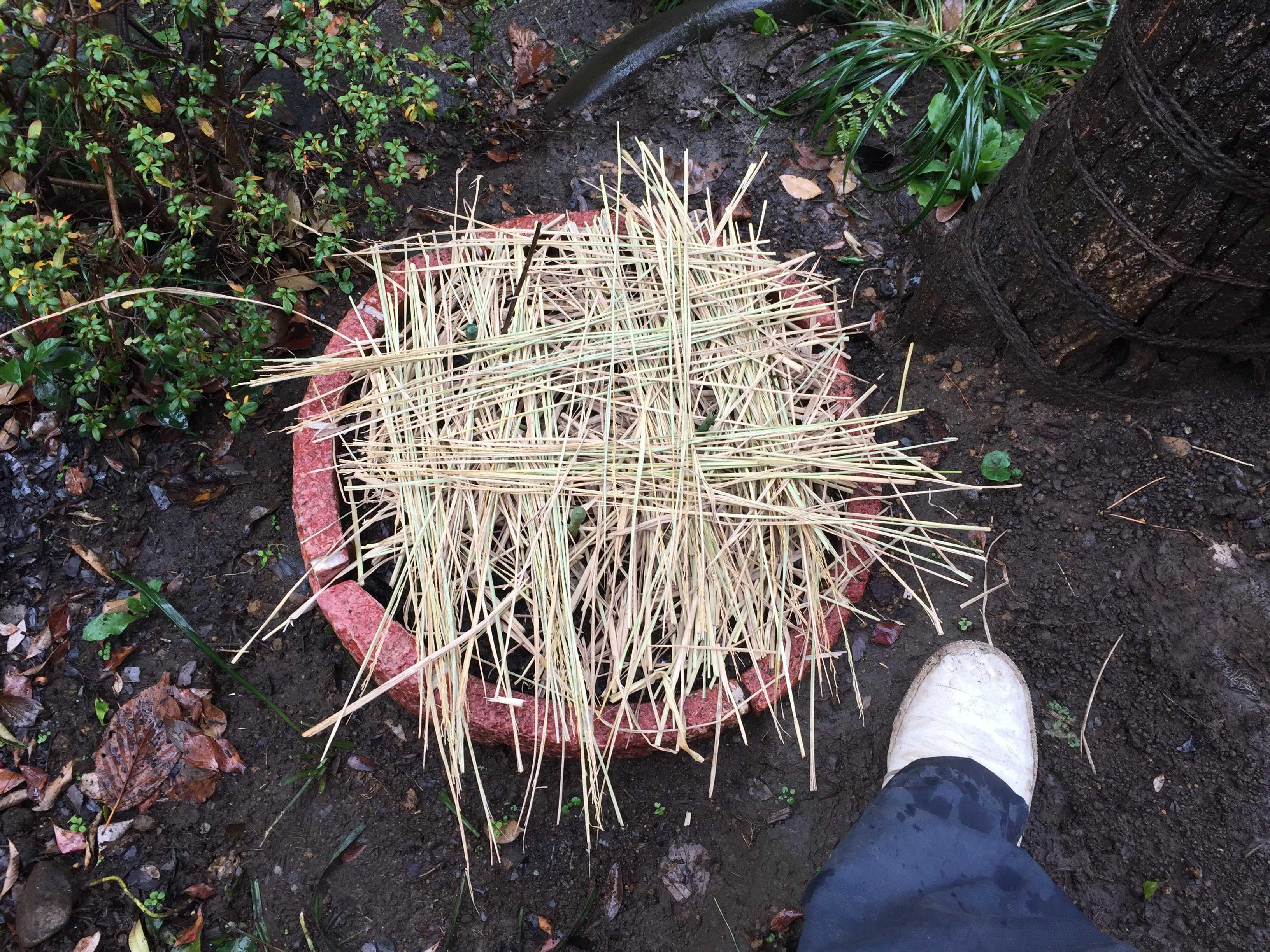 ヤマユリの冬越し(マルチング)のための敷藁