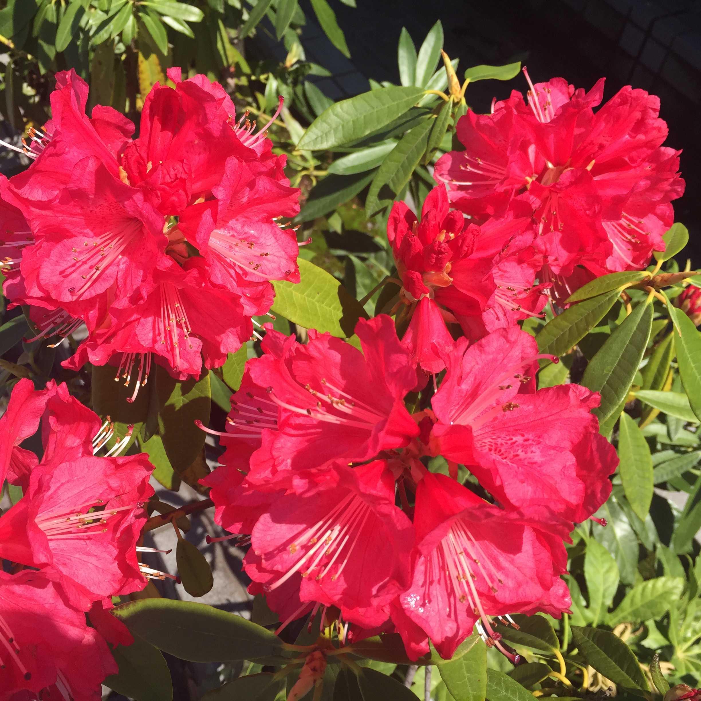 真っ赤なシャクナゲの花