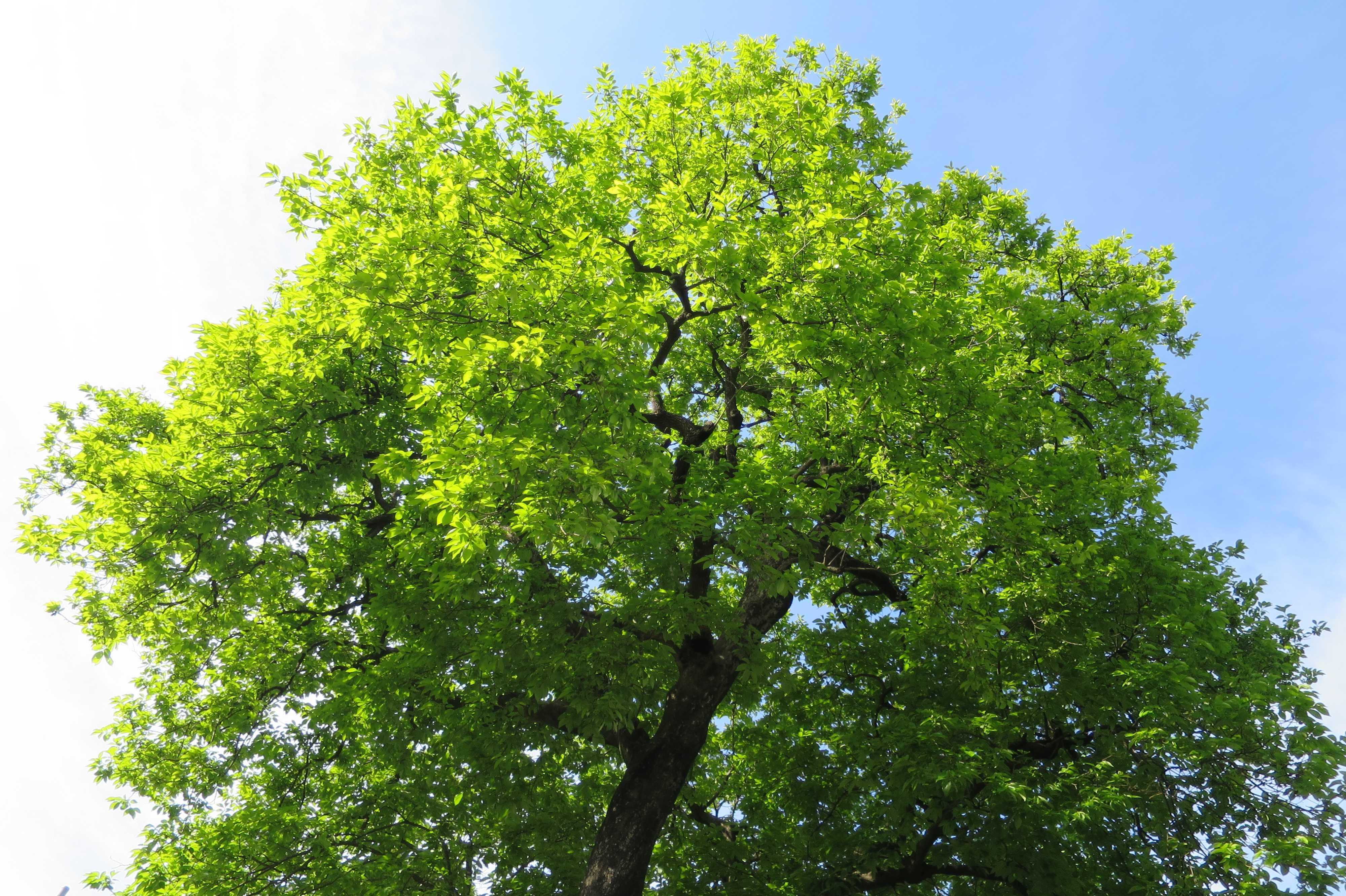 岡上のゼンジマルの樹冠