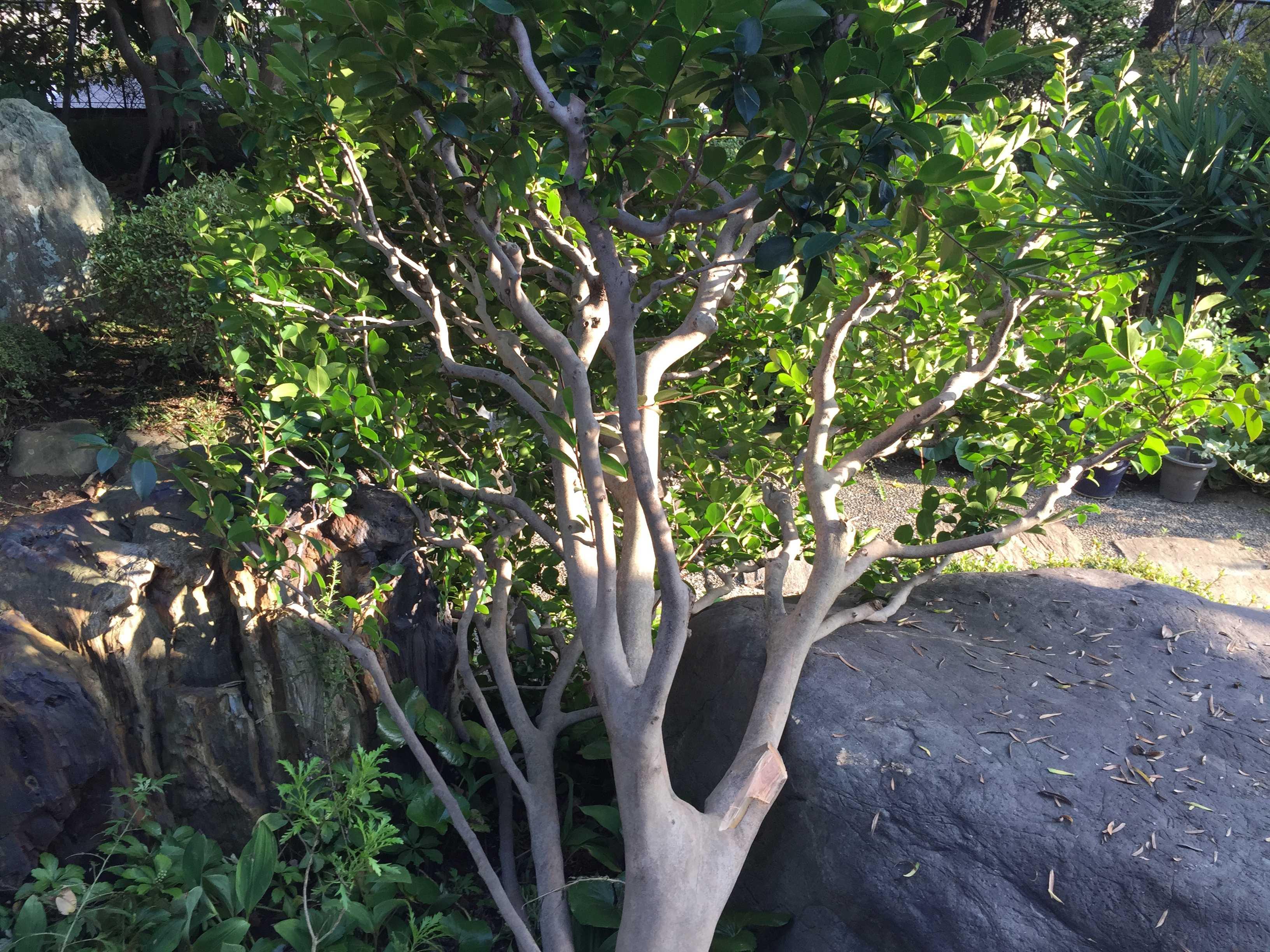 伐採した椿の木
