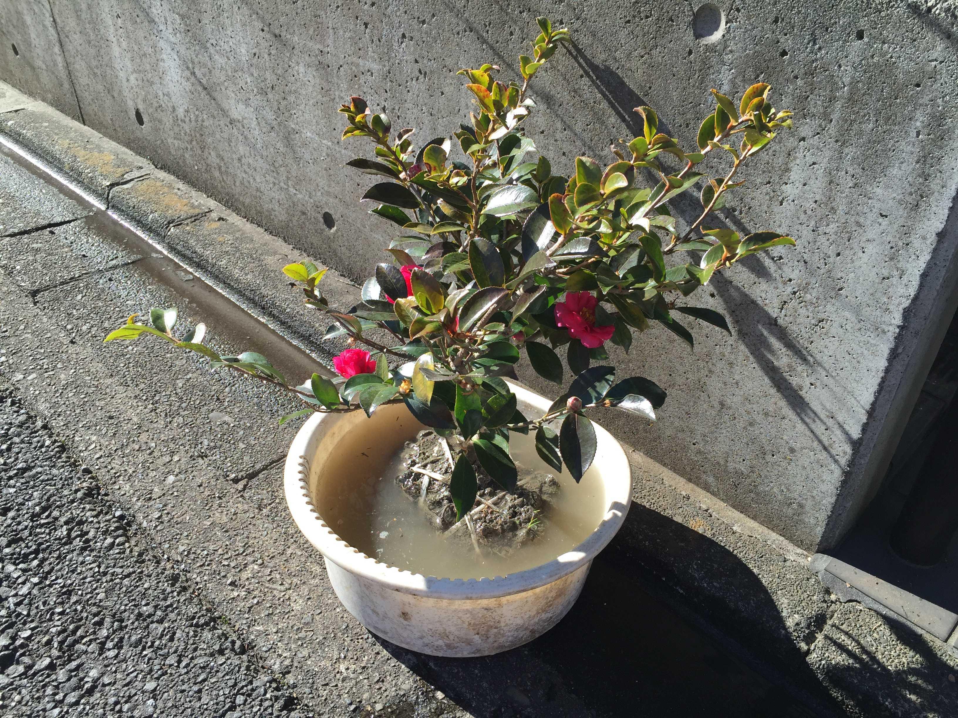 サザンカのハイカンツバキ(這寒椿)の苗木