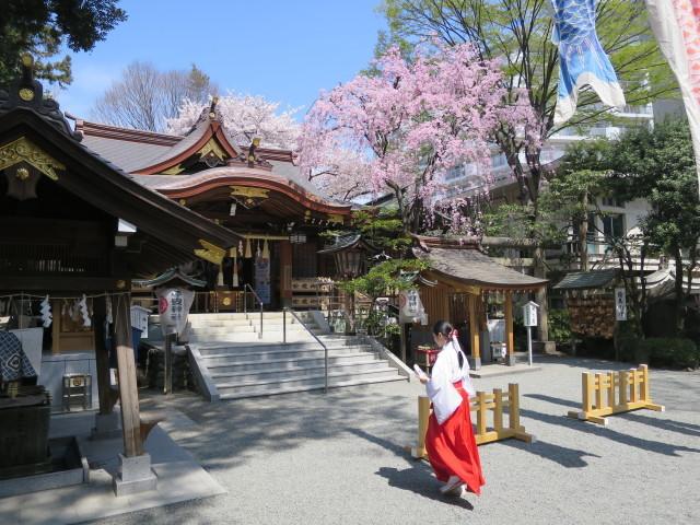 子安神社と満開のしだれ桜と巫女さん