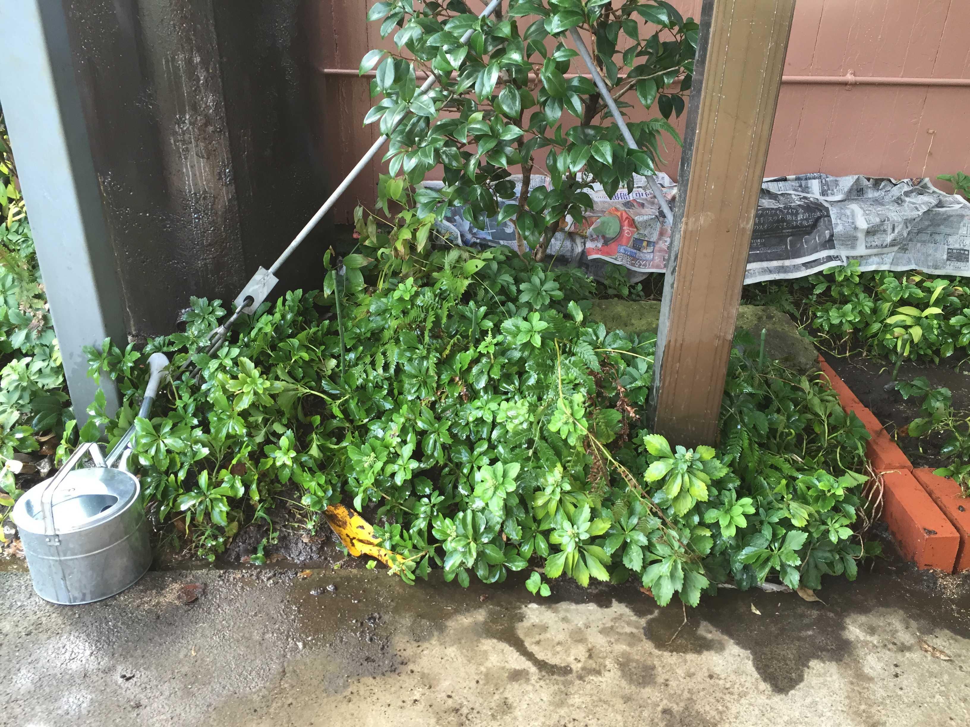 雑草の下に球根 - やまゆりの球根の植え付け