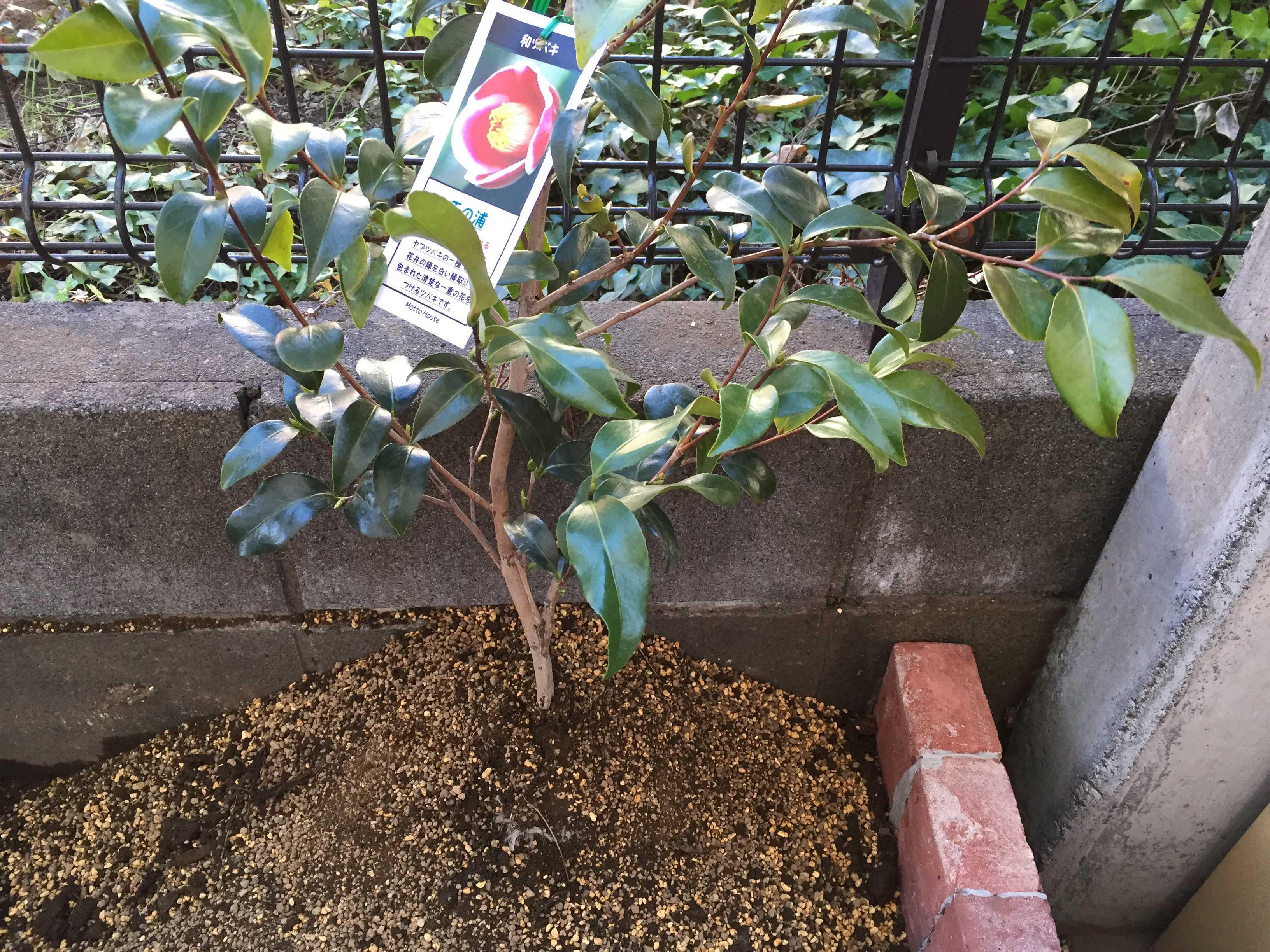 藪椿「玉之浦」の定植