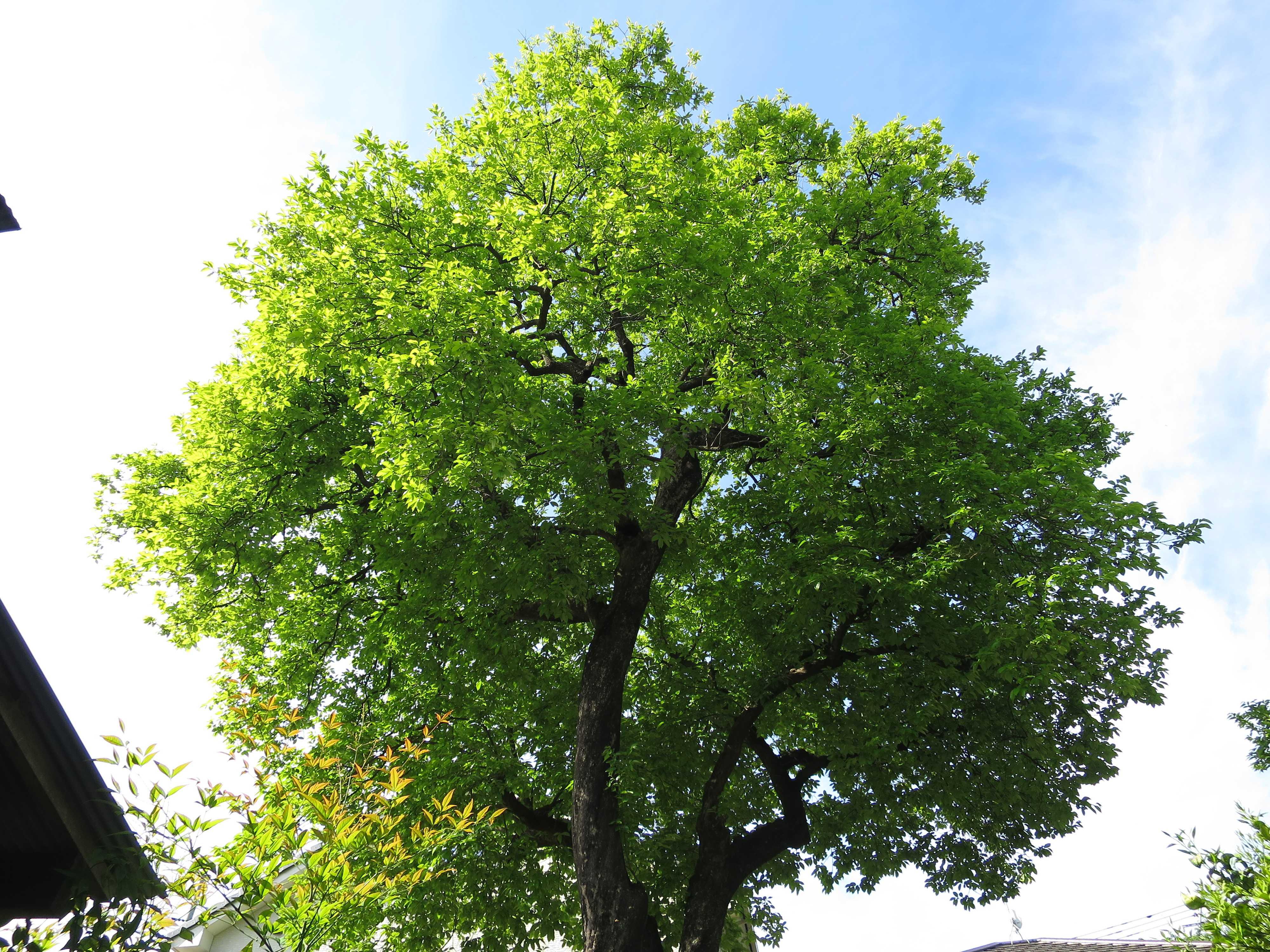 岡上の禅寺丸柿の大木