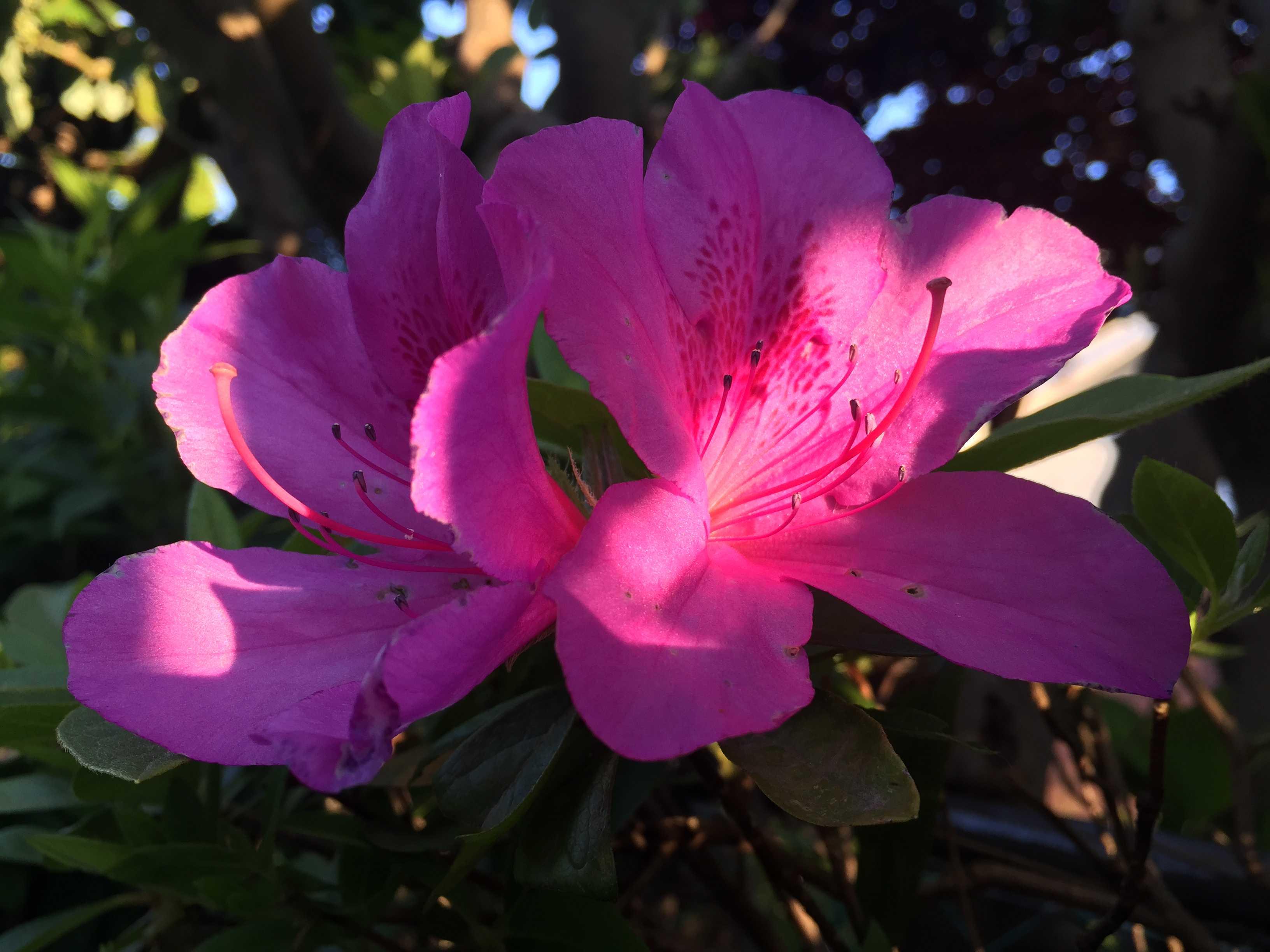 ブロッチが美しいピンクのツツジ