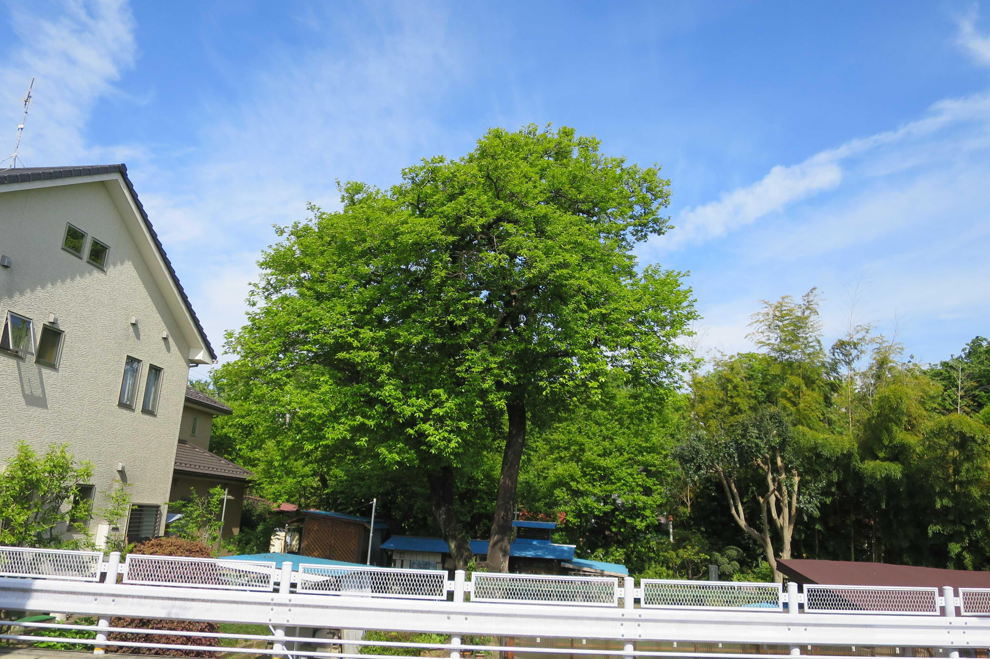 横の道路から見た岡上の禅寺丸の古木