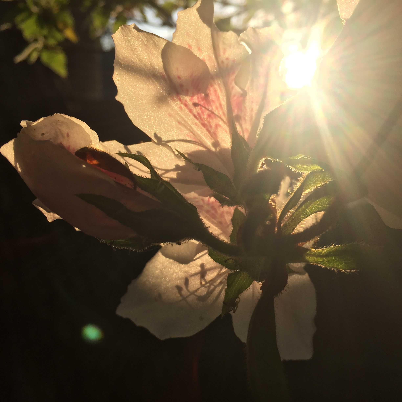 朝の日の光を浴びるツツジ
